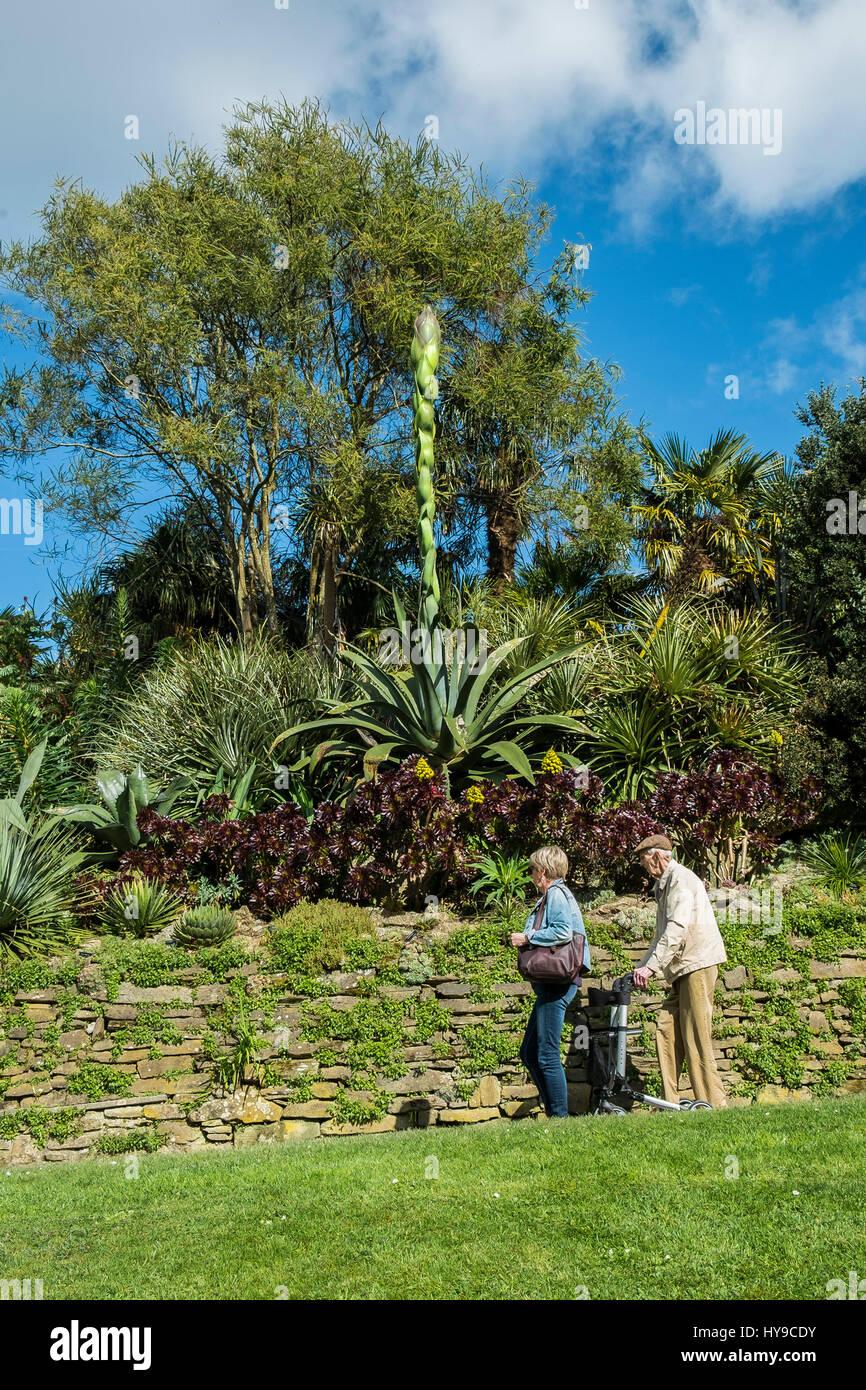 Giardino Trebah Sub-Tropical Aloe vera pianta flowering Turismo spettacolare attrazione turistica turisti visitatori Immagini Stock