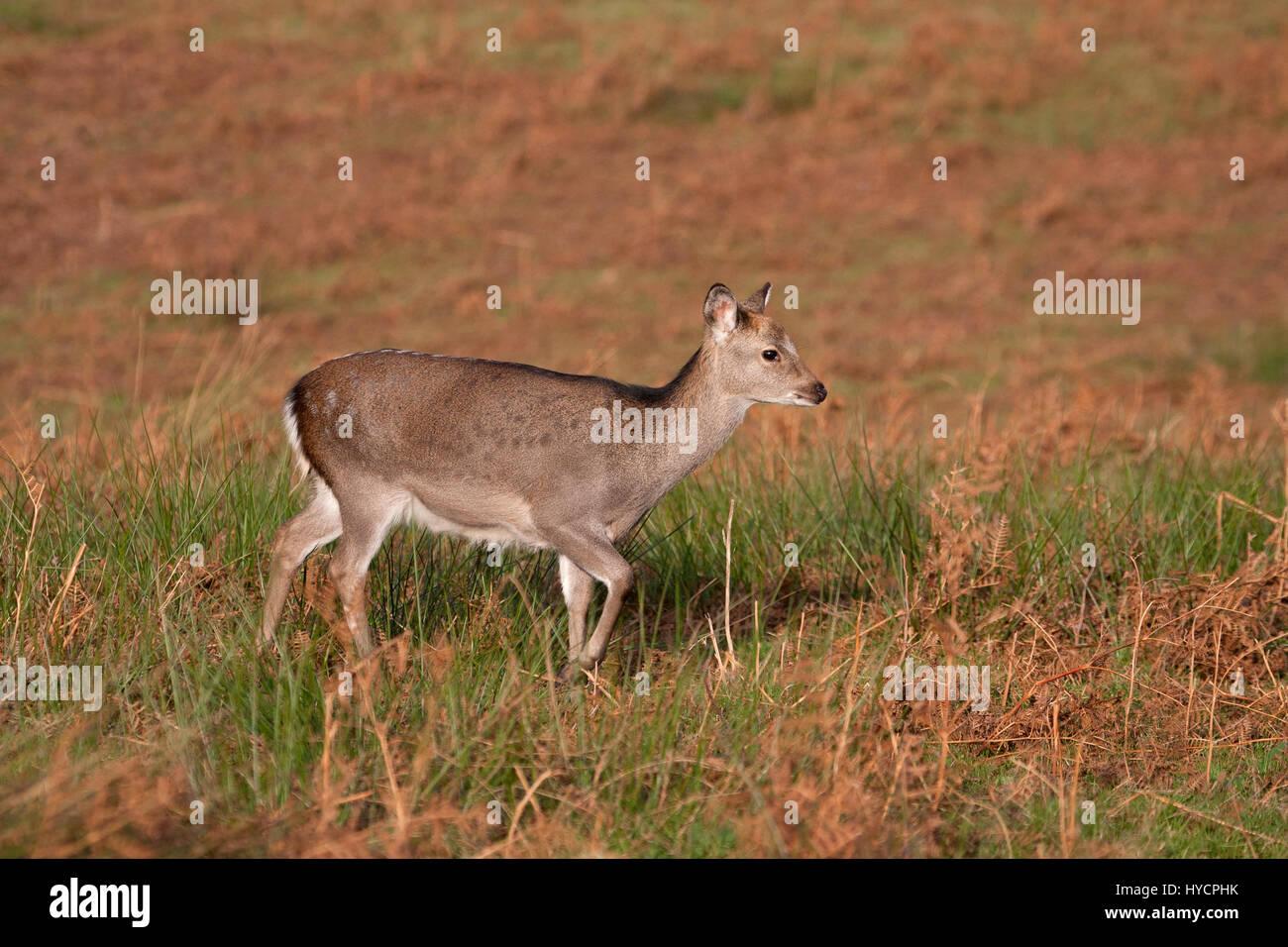 Sika, cervi sika nippon, singolo bambino a piedi attraverso l'erba in autunno. Prese novembre, Knole Park, Kent, Immagini Stock