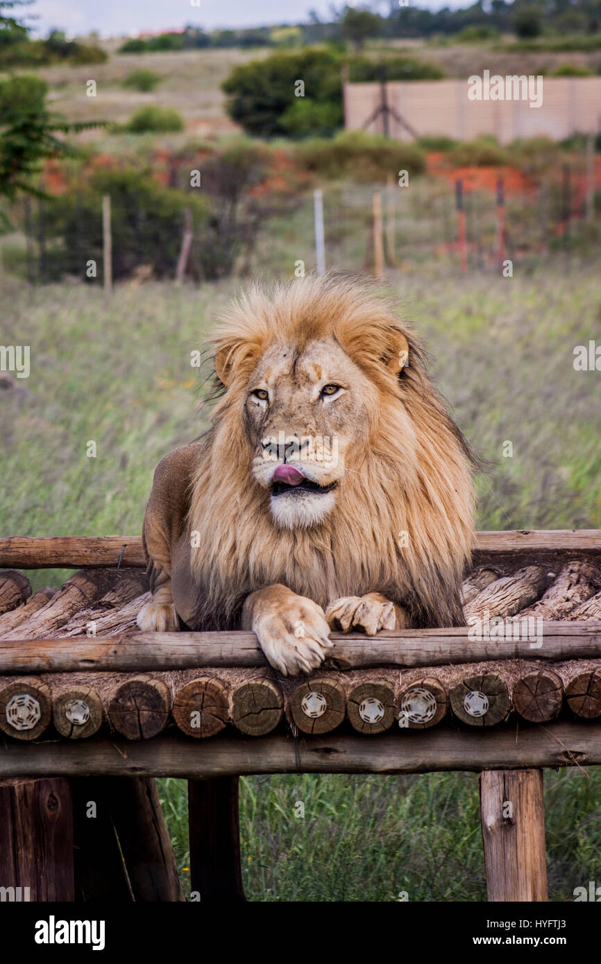Leone in Africa Immagini Stock