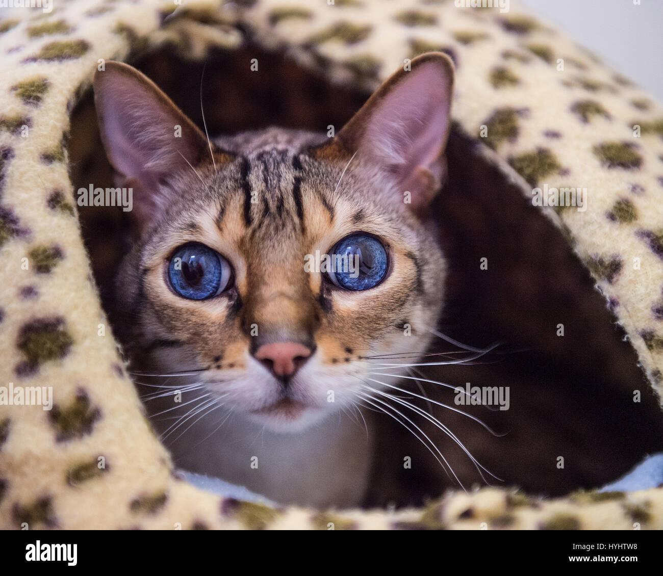 Gatto bengala con macchie a letto Immagini Stock