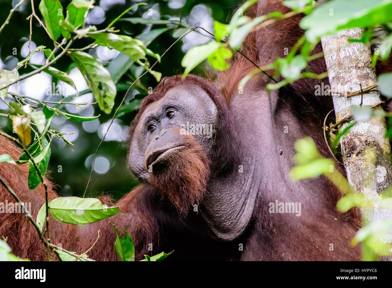 In prossimità di una flangiatura maschio Orangutan Immagini Stock