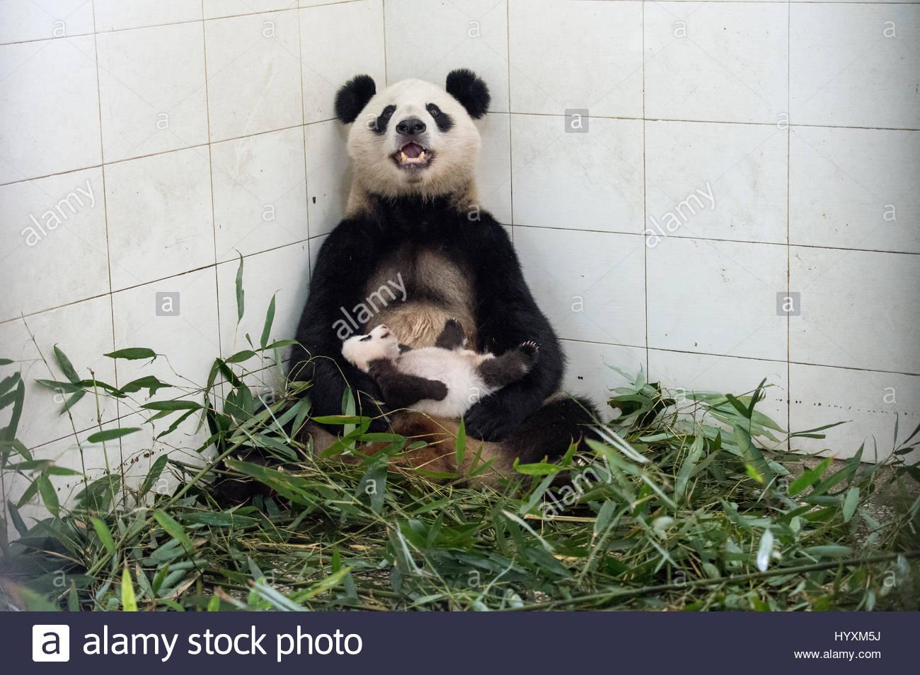Un panda gigante madre con il suo cucciolo al Ya'un Bi Feng Xia Base. Immagini Stock