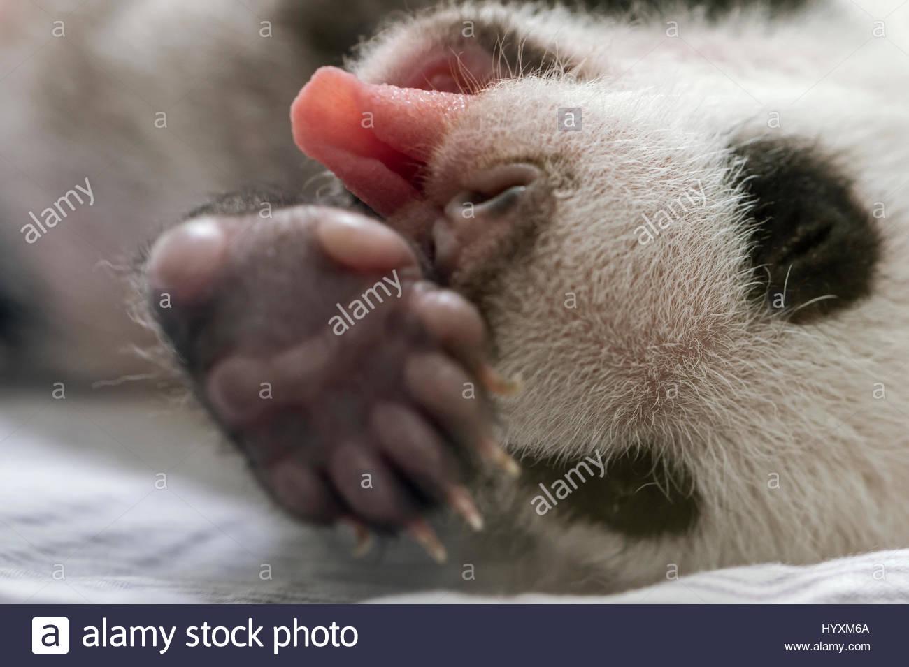 Un panda gigante cub che è soltanto poche settimane vecchio dorme in un incubatore al Bifengxia Panda Gigante Immagini Stock