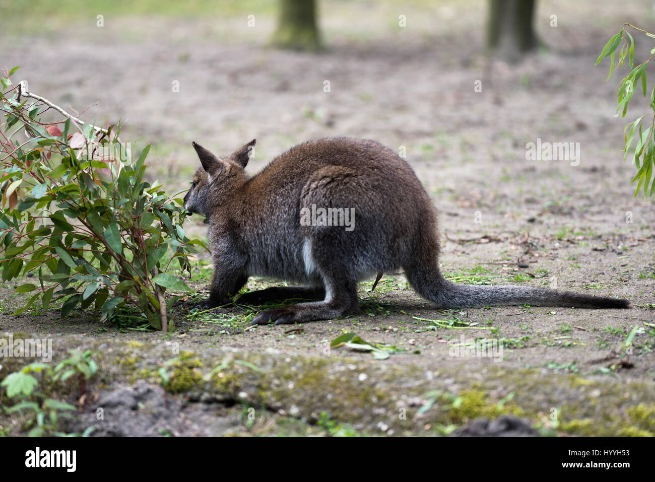 Australian tree kangaroo mangiare erba Immagini Stock
