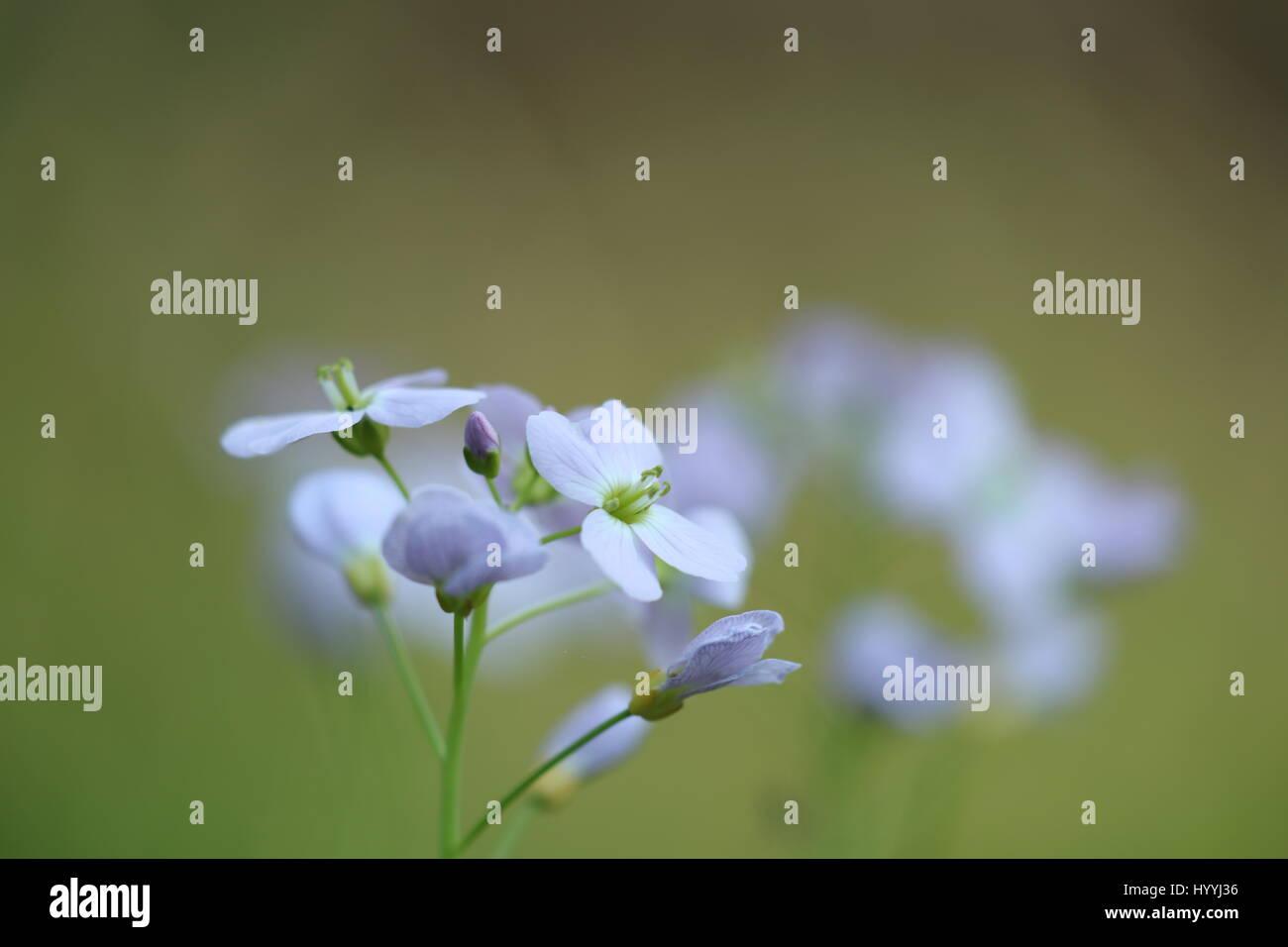 Blühendes Wiesen-Schaumkraut Immagini Stock