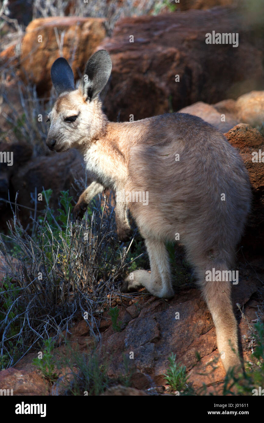 Un giovane canguro rosso (Macropus rufus), nel Territorio del Nord, l'Australia Immagini Stock