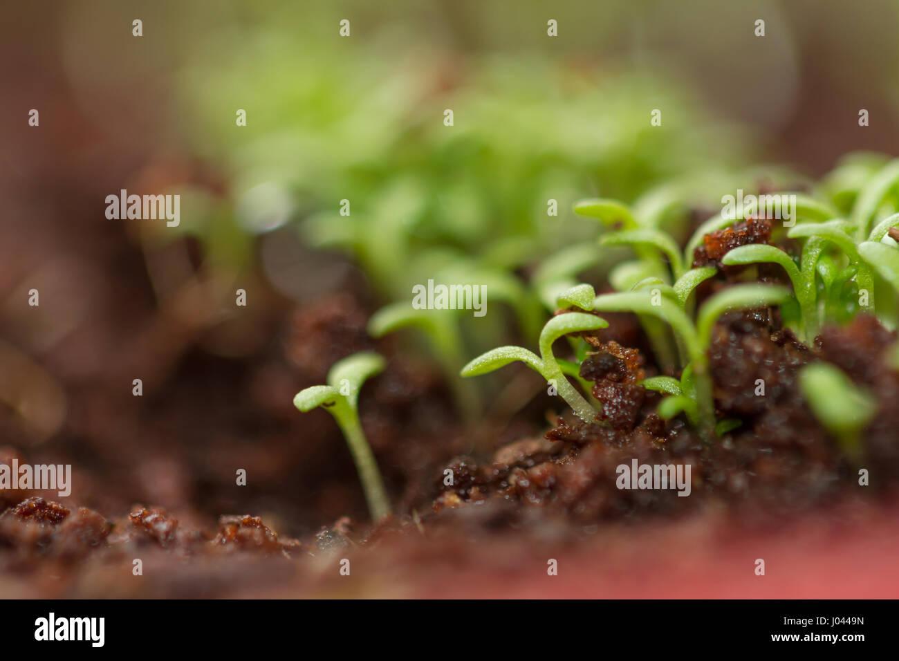 Verde germogli di camomilla. I germogli di crescione Foto Stock