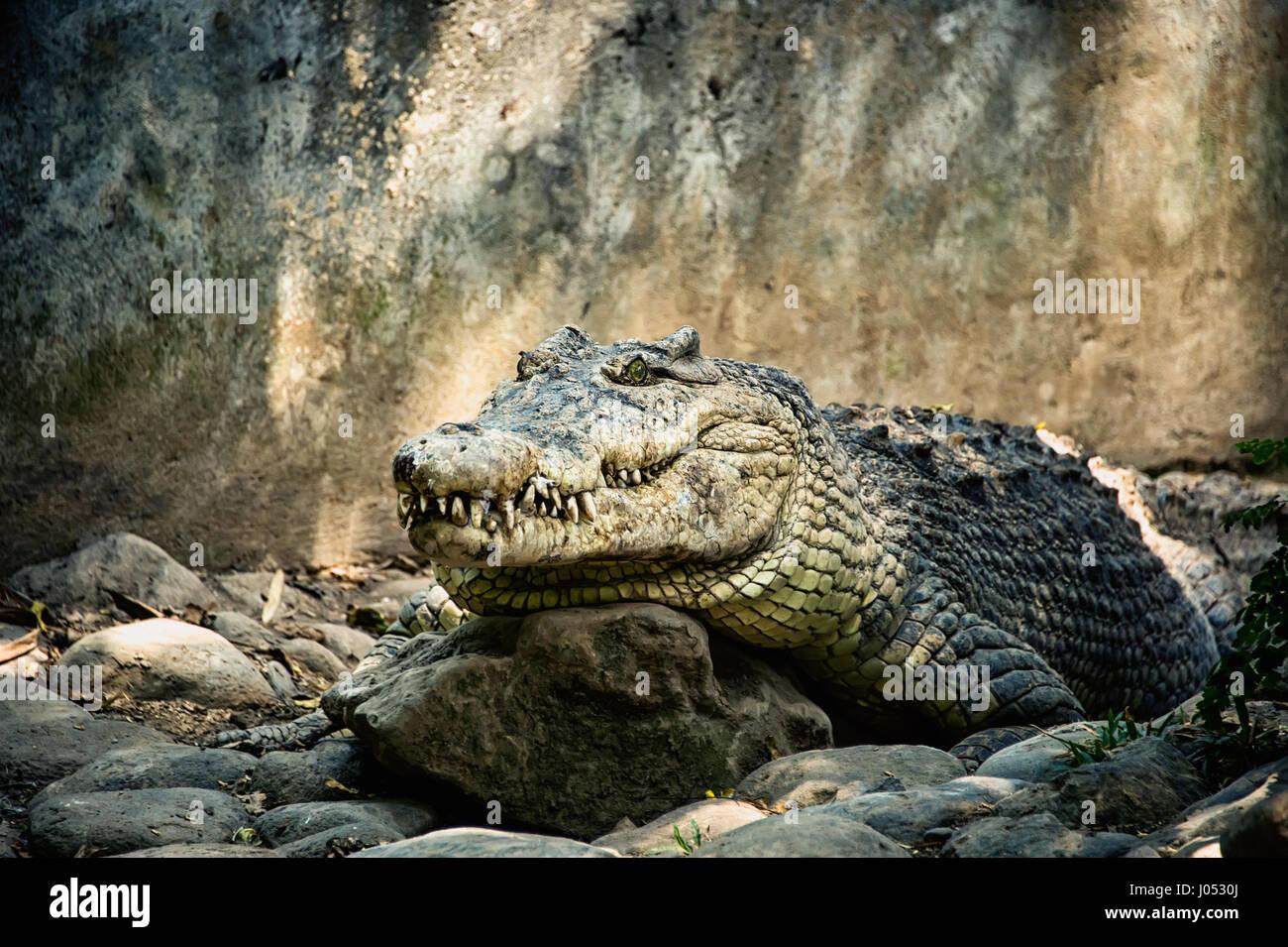 Grande coccodrillo verde con una bocca chiusa e grandi denti sulle rocce Immagini Stock