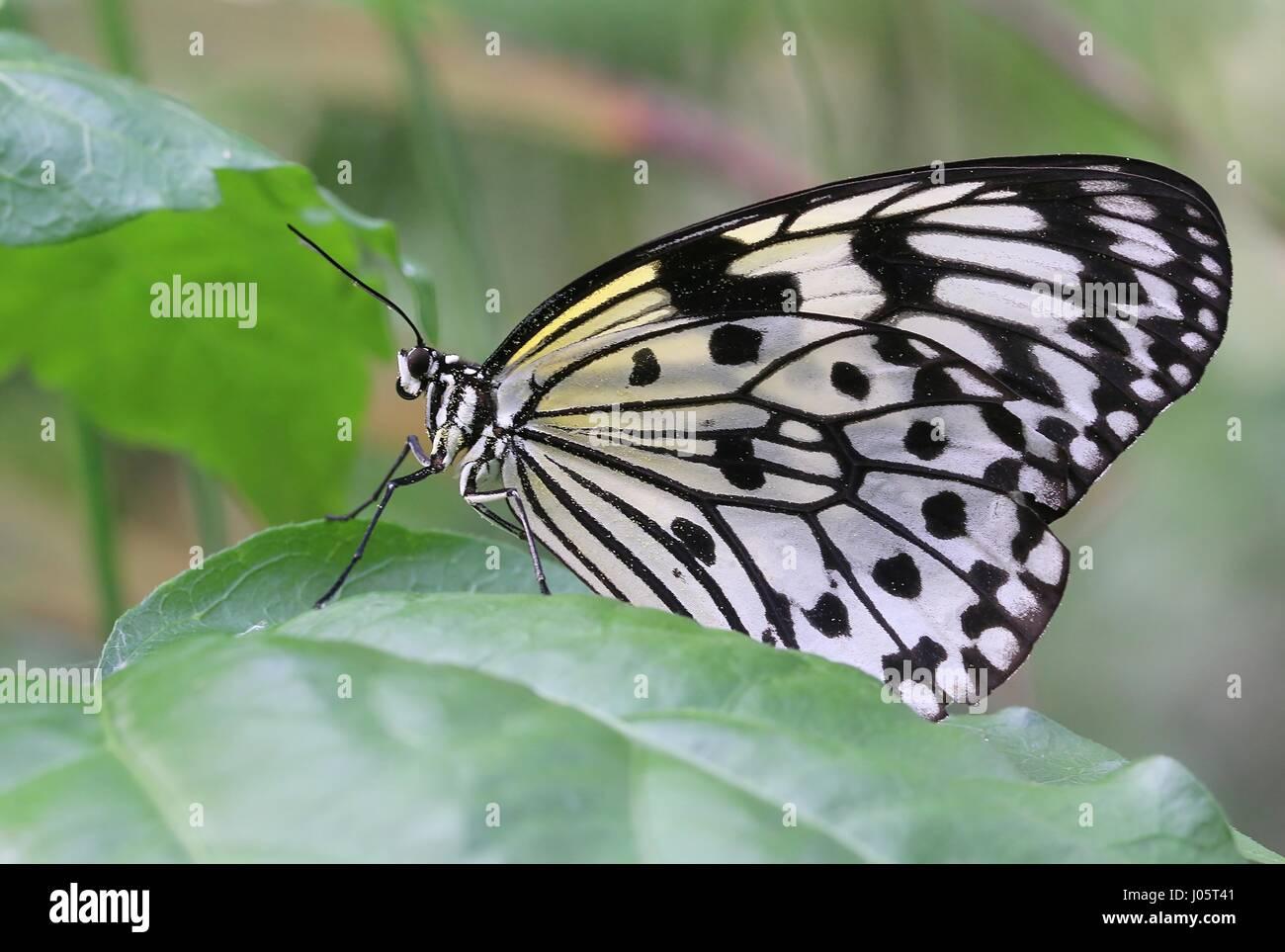 Sud-est asiatico aquilone di carta Butterfly (Idea leuconoe), a.k.a.carta riso Butterfly, albero- o legno Nymph Immagini Stock