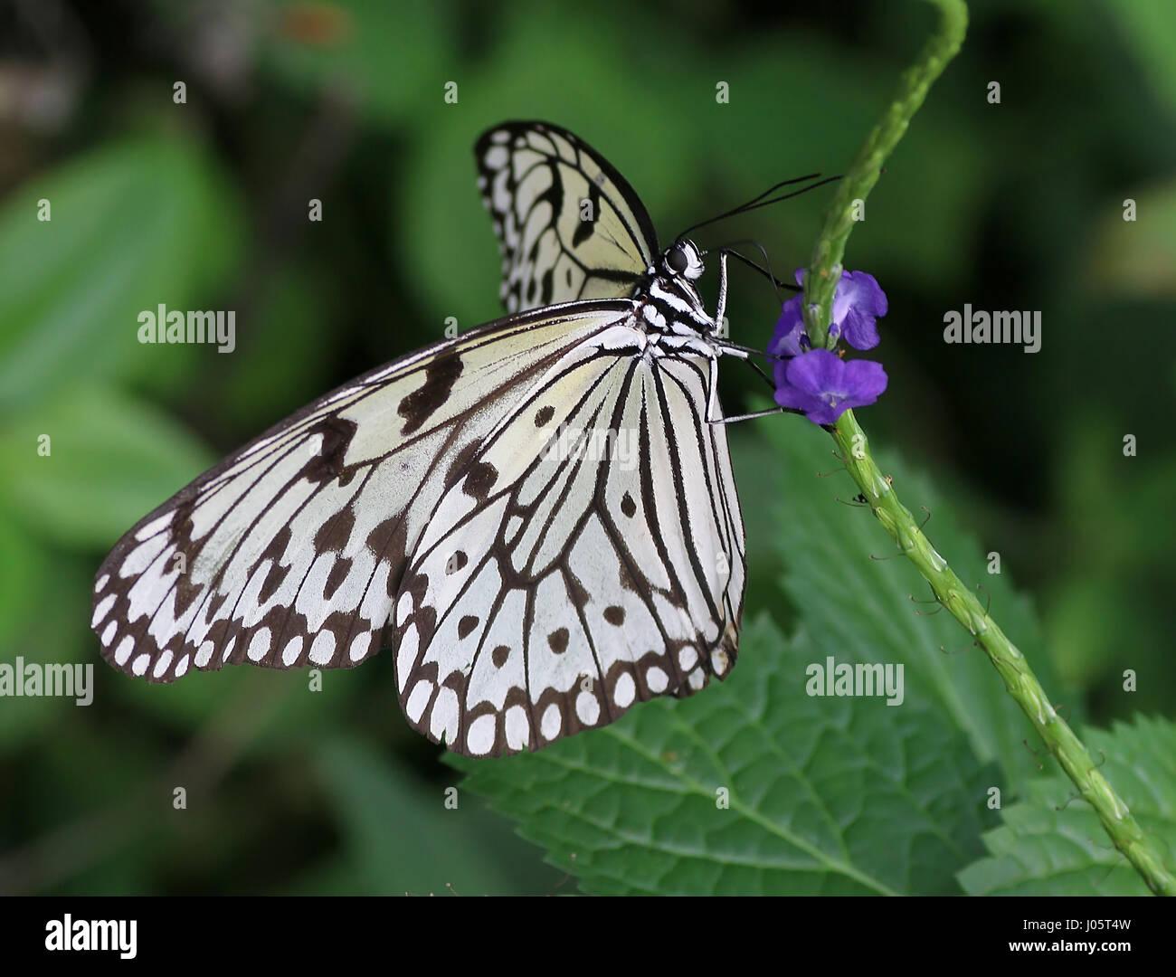 Sud-est asiatico aquilone di carta Butterfly (Idea leuconoe) alimentazione su un fiore tropicale. A.k.a. Carta di Immagini Stock