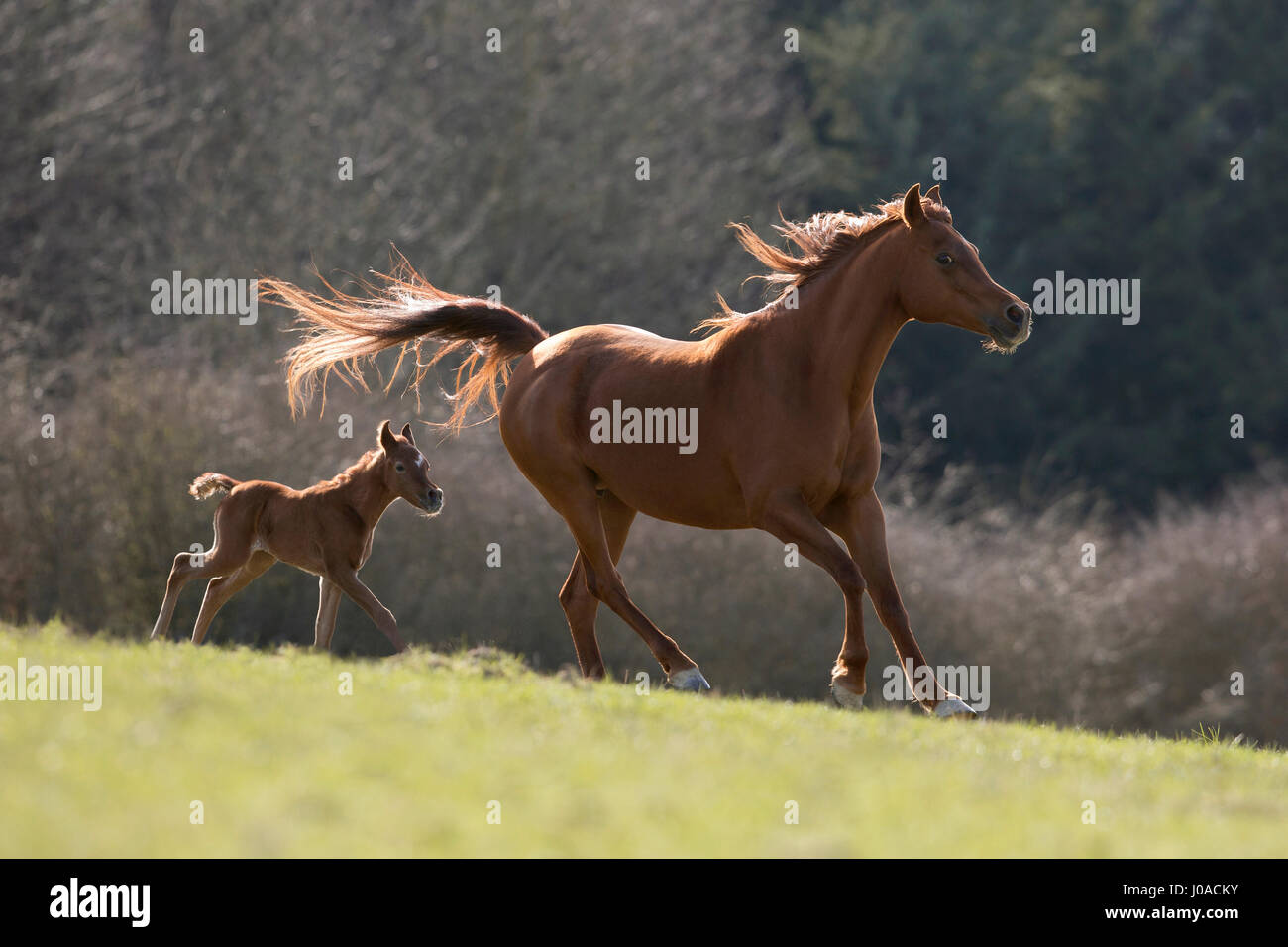 Brown Arabian mare con colt al galoppo Immagini Stock