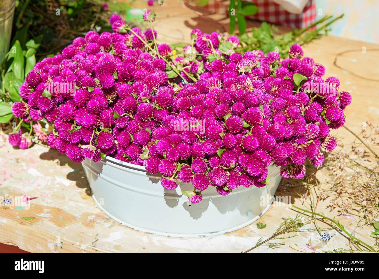 Viola Gomphrena fiore per mazzi di fiori e ghirlande in pentola bianco Immagini Stock