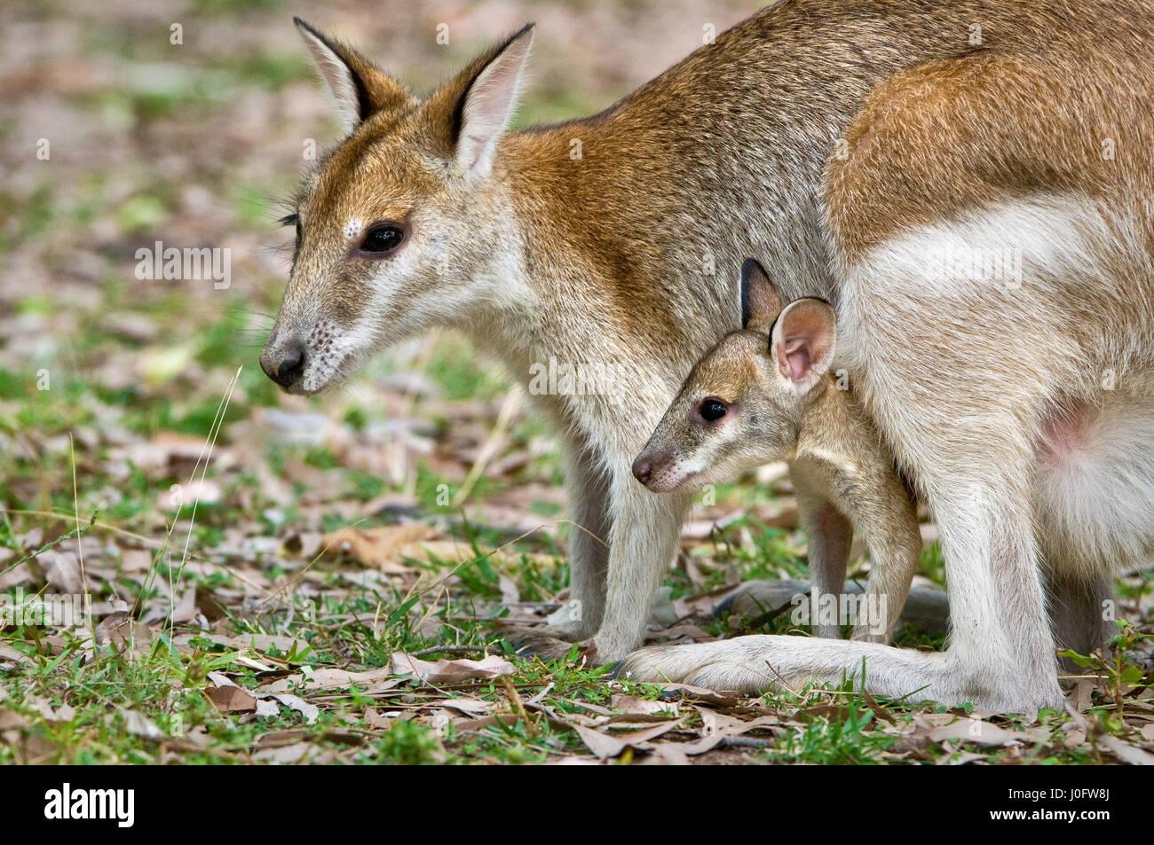 Agile Wallaby con joey in cerca della sacca. Immagini Stock