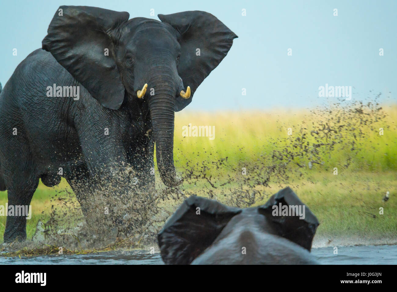Elephant riprodurre la carica altro elefante, Chobe Nat Pk, Botswana, Africa Immagini Stock
