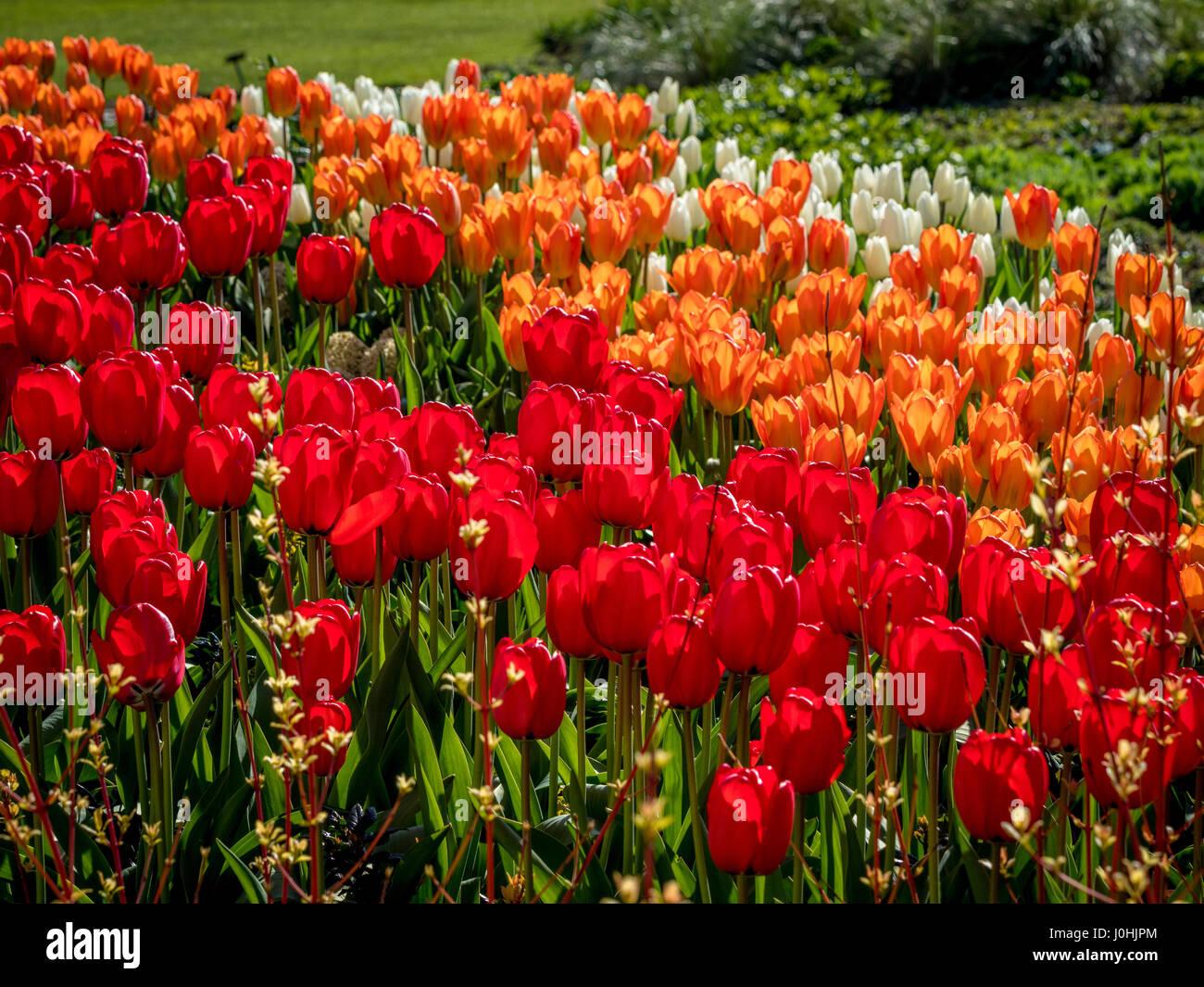 Bianco, arancione e tulipani rossi nella primavera del letto di fiori all'aperto Foto Stock
