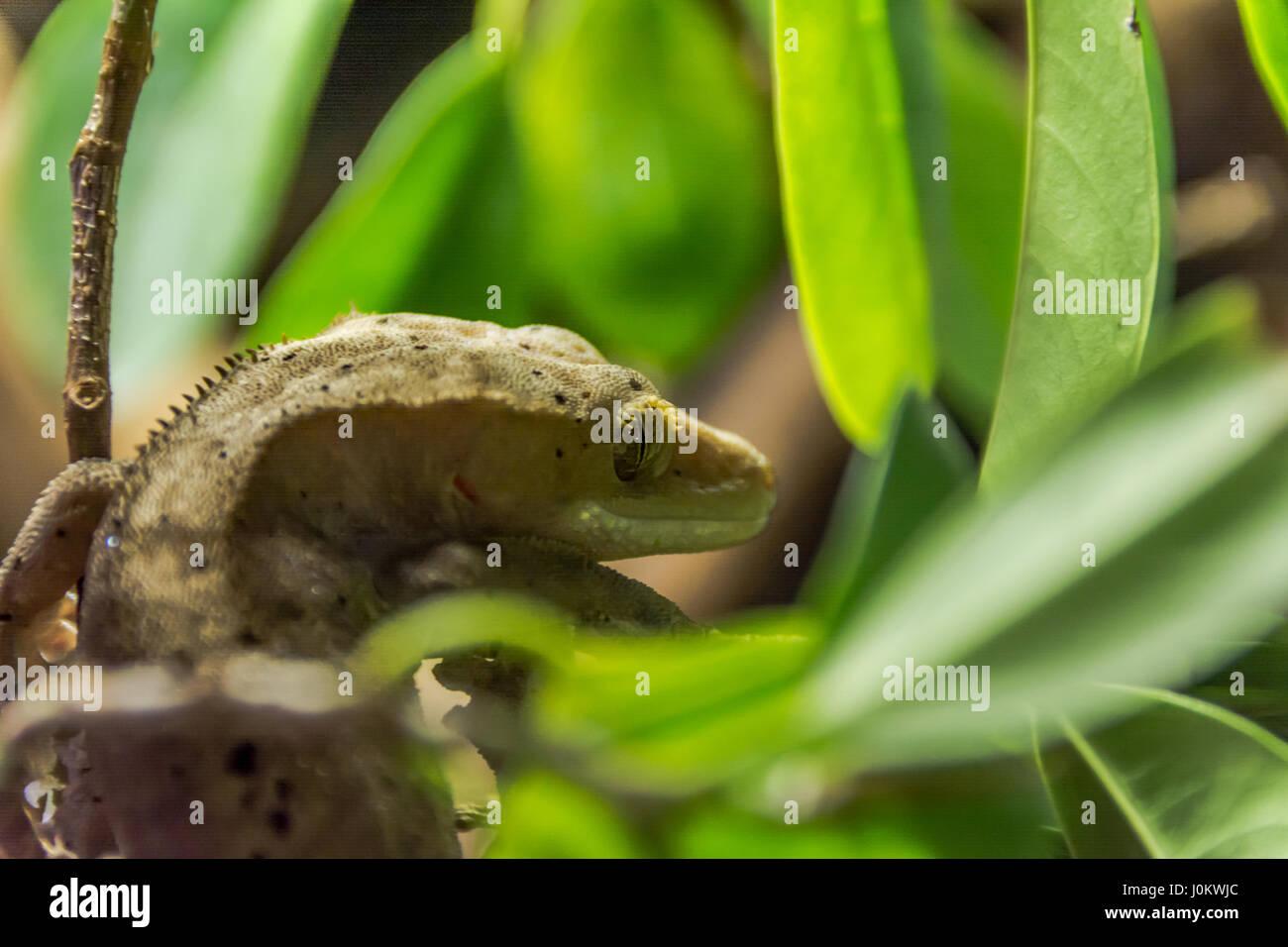 Raro ciliate geco nascosto nel fogliame Immagini Stock