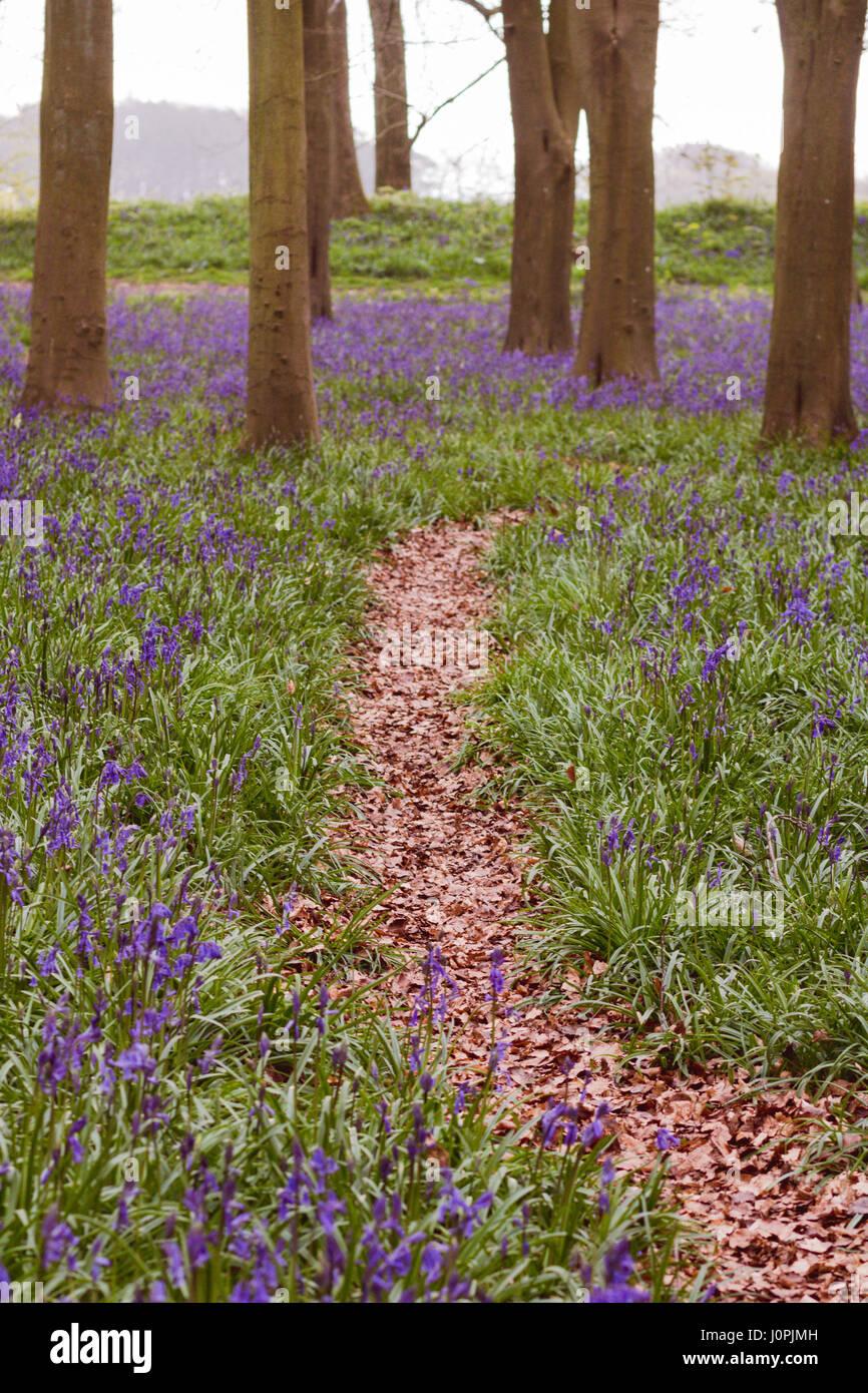 Percorso attraverso Bluebell legno, Wiltshire Foto Stock