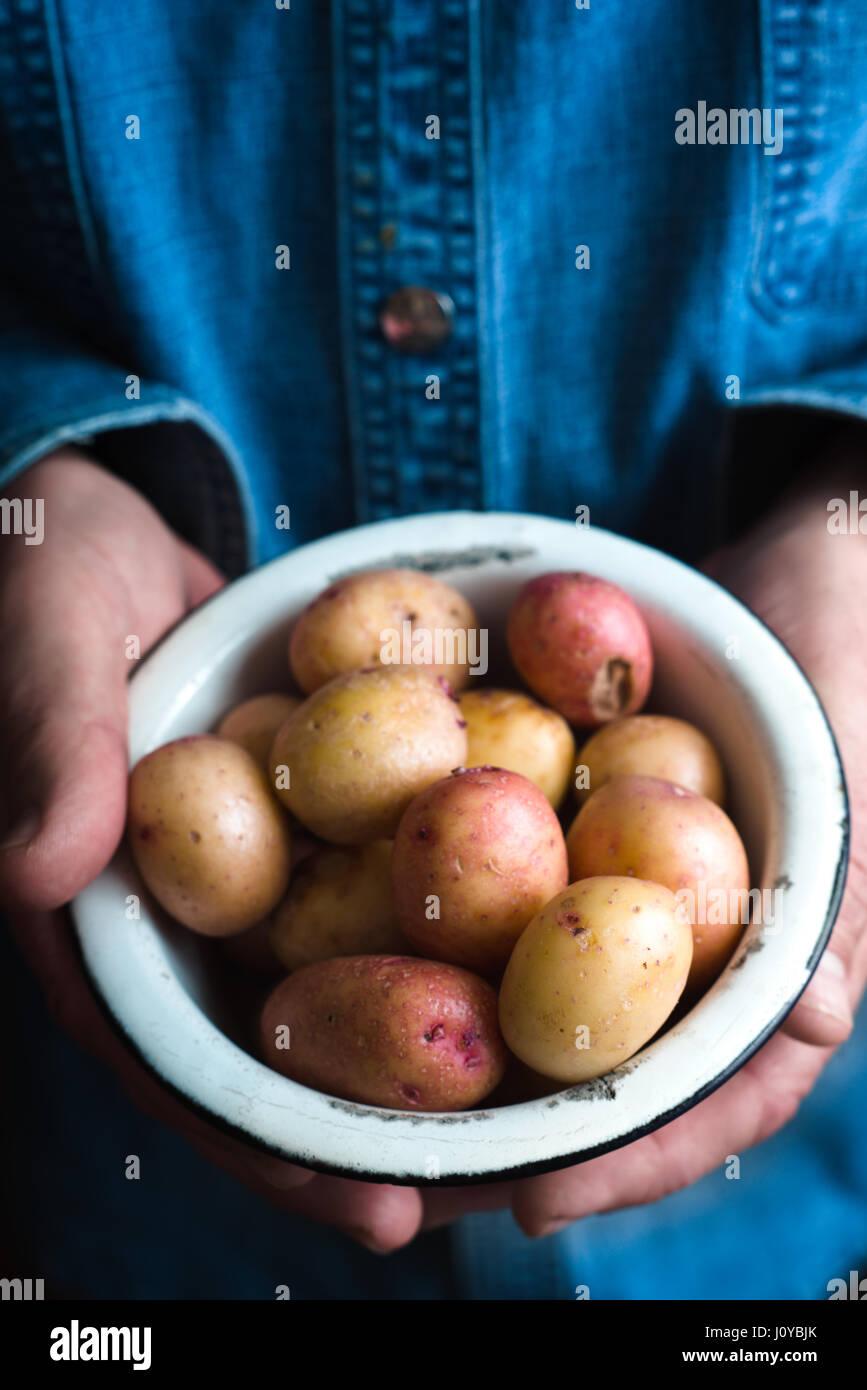 Recipiente di metallo con materie prime patate nelle mani Immagini Stock
