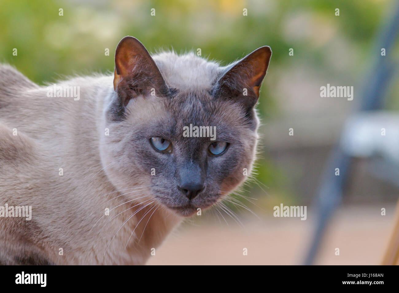 Gatto Siamese Gatto In Chiusura Del Viso è Guardare Nel La Lente