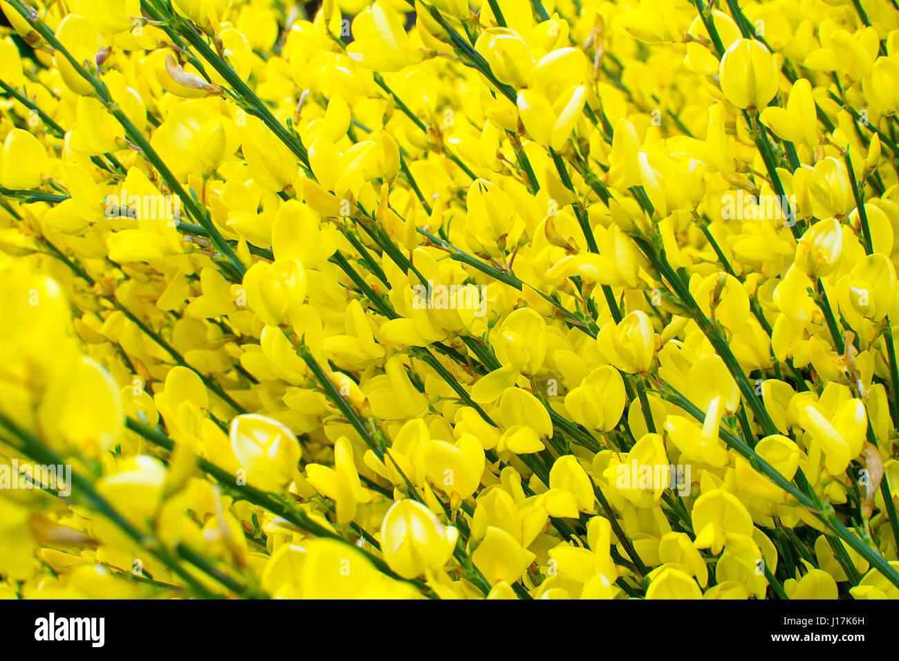 Arbusto A Fiori Gialli fiori gialli della ginestra comune arbusto foto & immagine