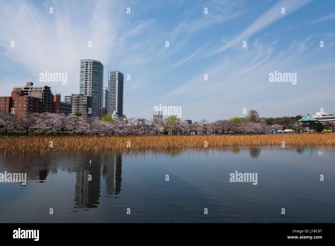 Fiore di Ciliegio, il Parco Ueno Taito-ku, Tokyo, Giappone Immagini Stock