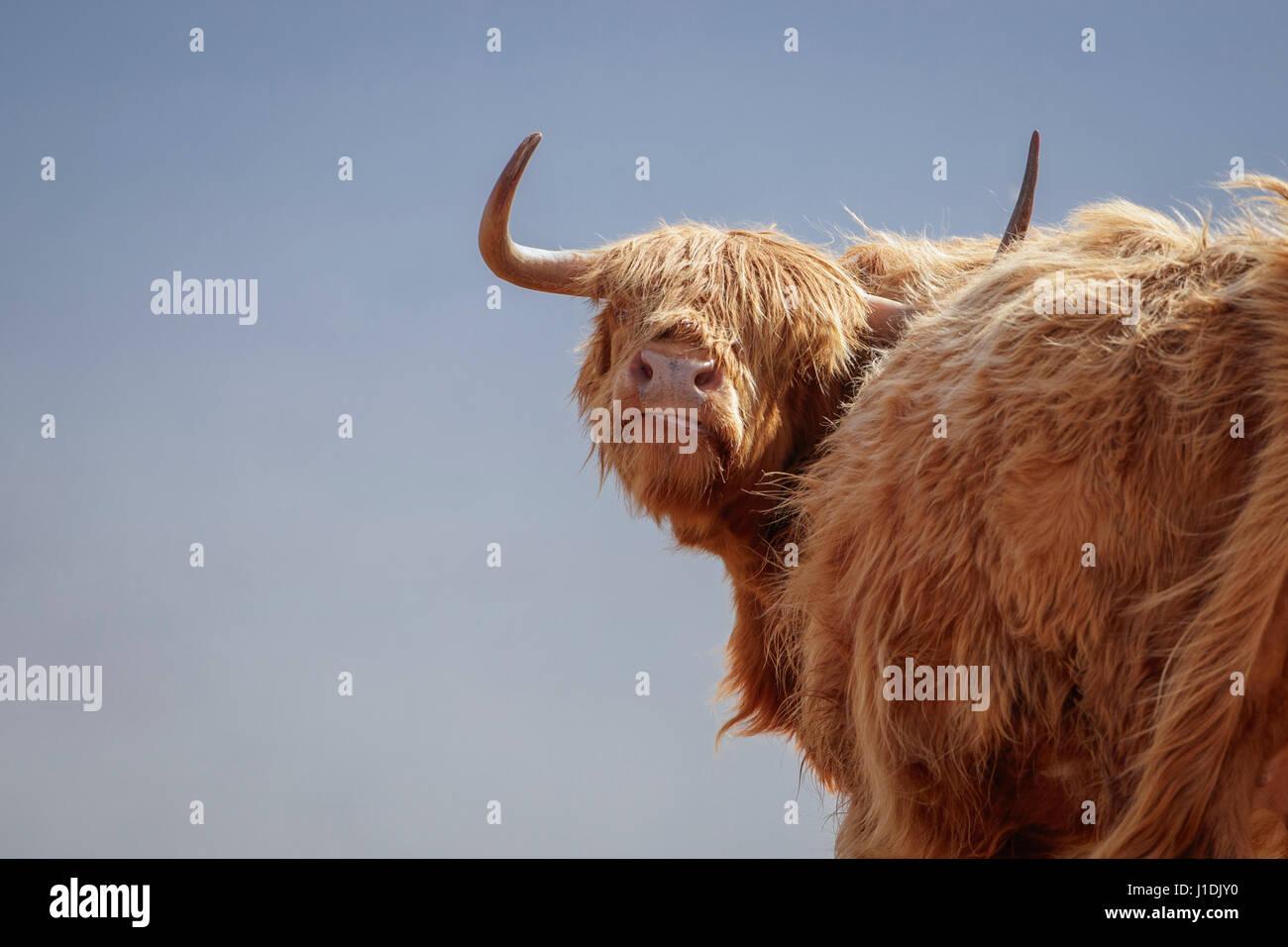Highland mucca, Highland Bovini, Hairy Moo Coo Immagini Stock