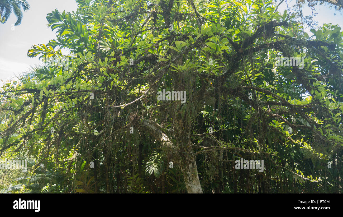 Calabash Tree,Crescentia cujete Immagini Stock
