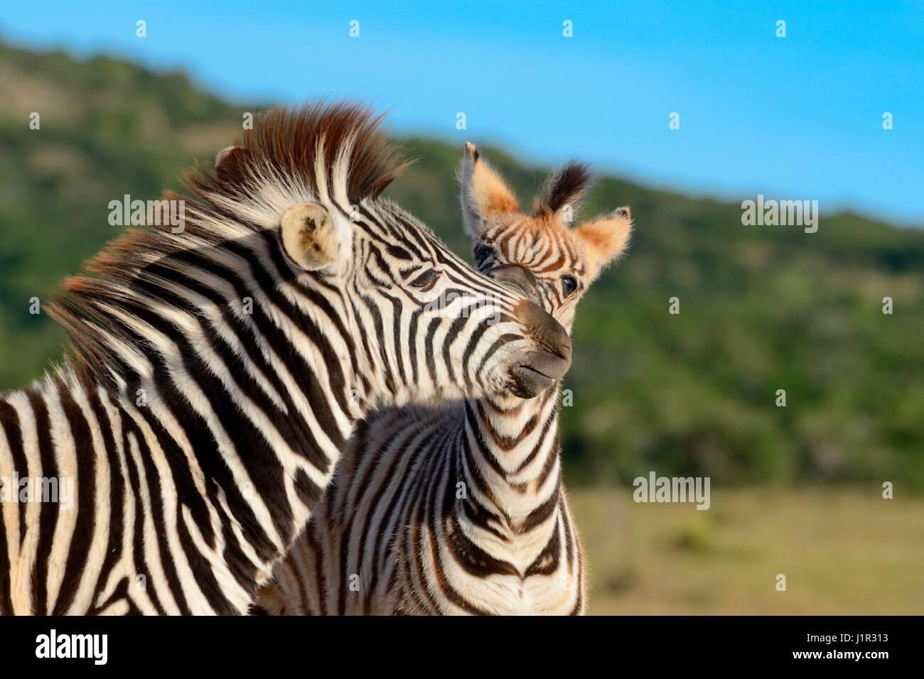 Due giovani del Burchell zebre (Equus quagga burchellii), riproduzione, Parco Nazionale di Addo, Capo orientale, Immagini Stock