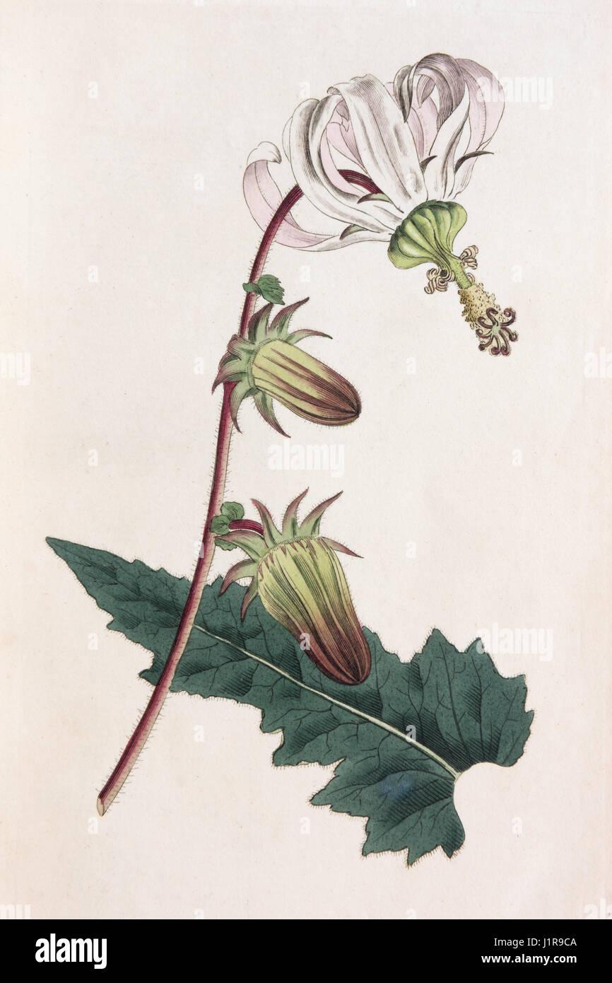 Rough-lasciava michauxia (Michauxia campanuloides), colorate a mano incisione su rame da Sansom da William Curtis Immagini Stock