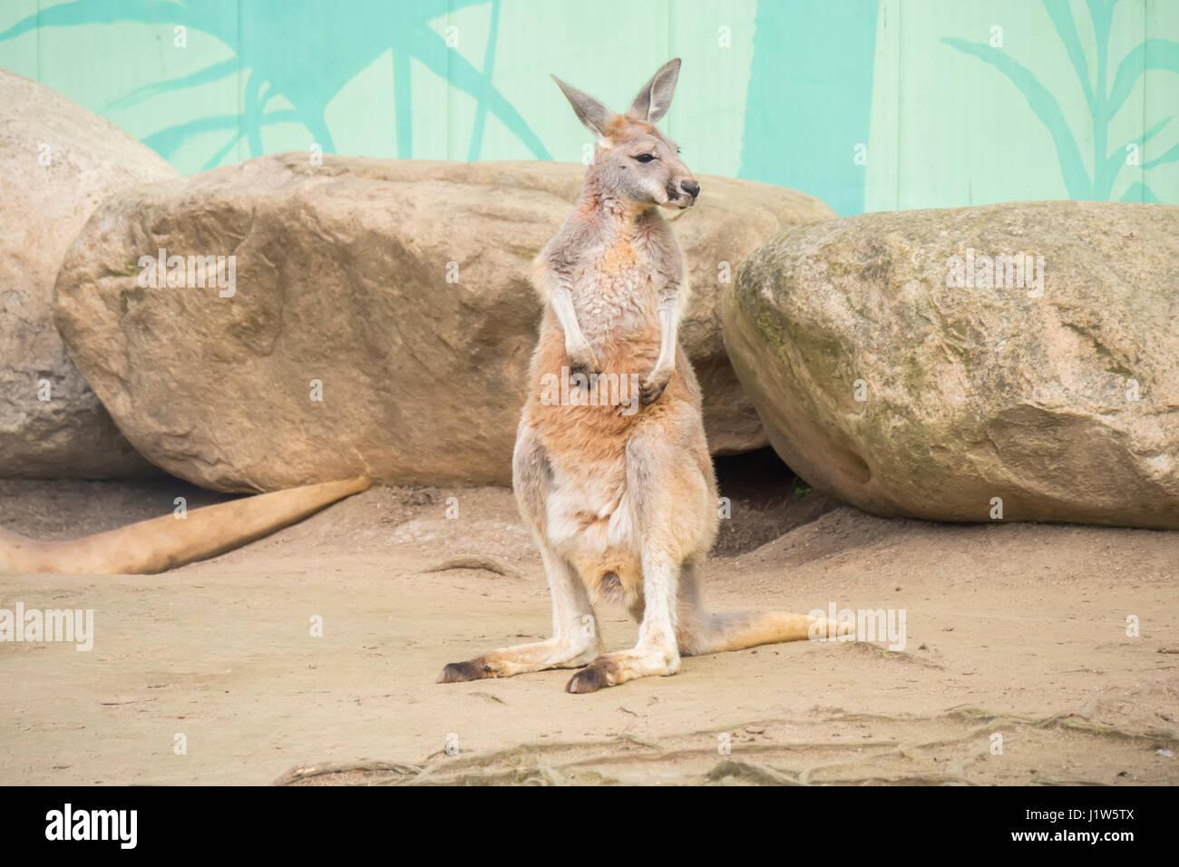 Canguro rosso, Macropus Rufus Immagini Stock