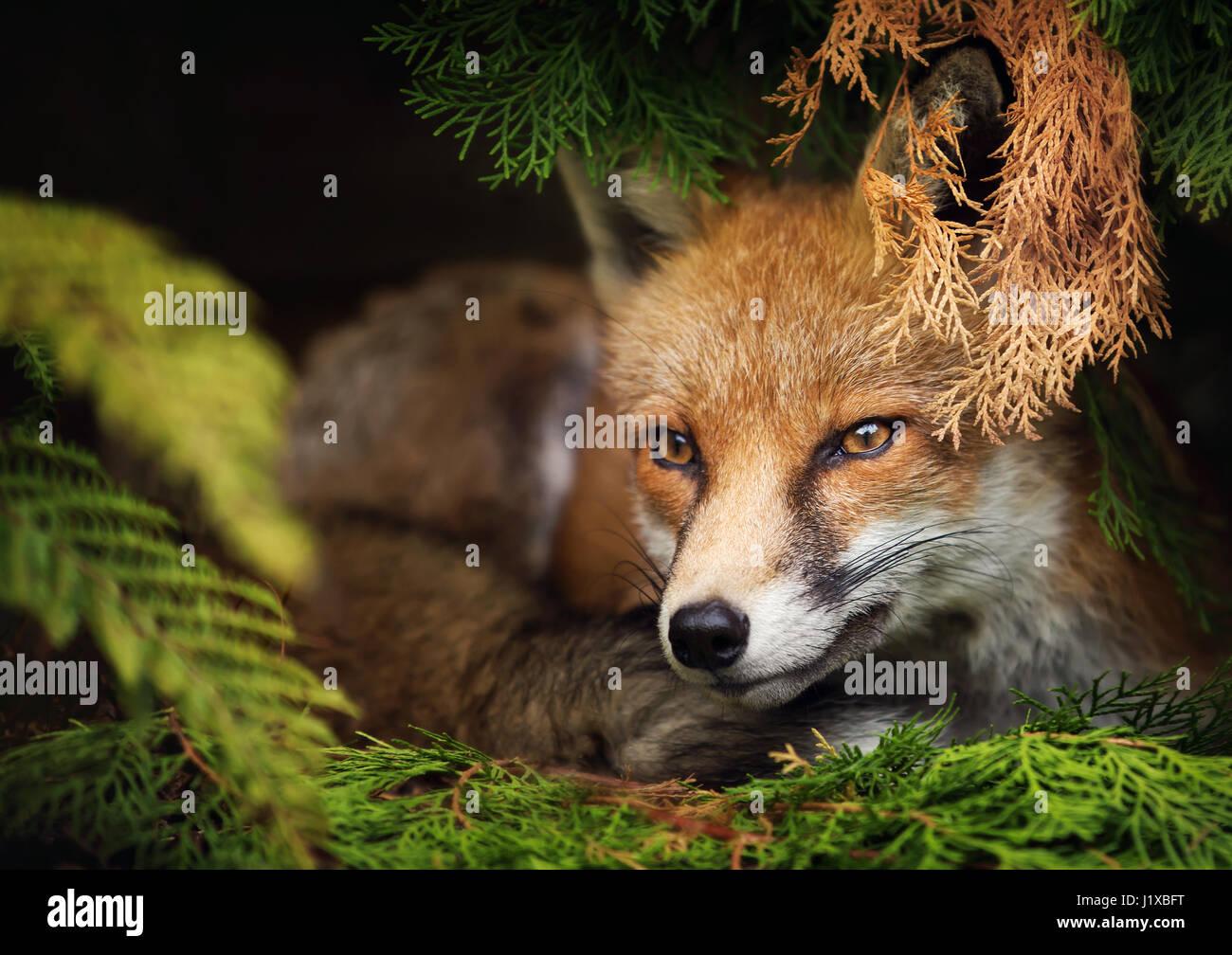 volpe rossa Immagini Stock