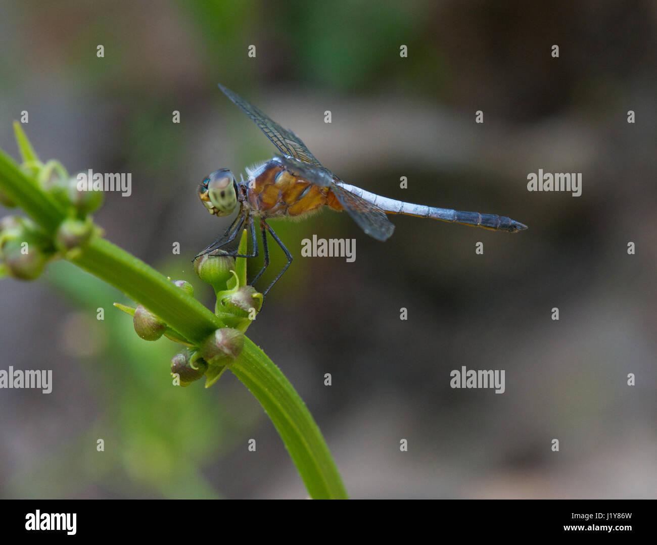 Dragonfly in Vietnam Immagini Stock