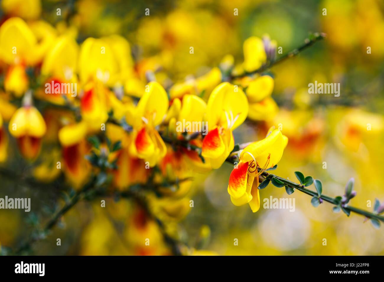 Arbusto Fiori Gialli Primaverili.Giallo E Arancione A Fioritura Primaverile Di Ginestra Fioritura
