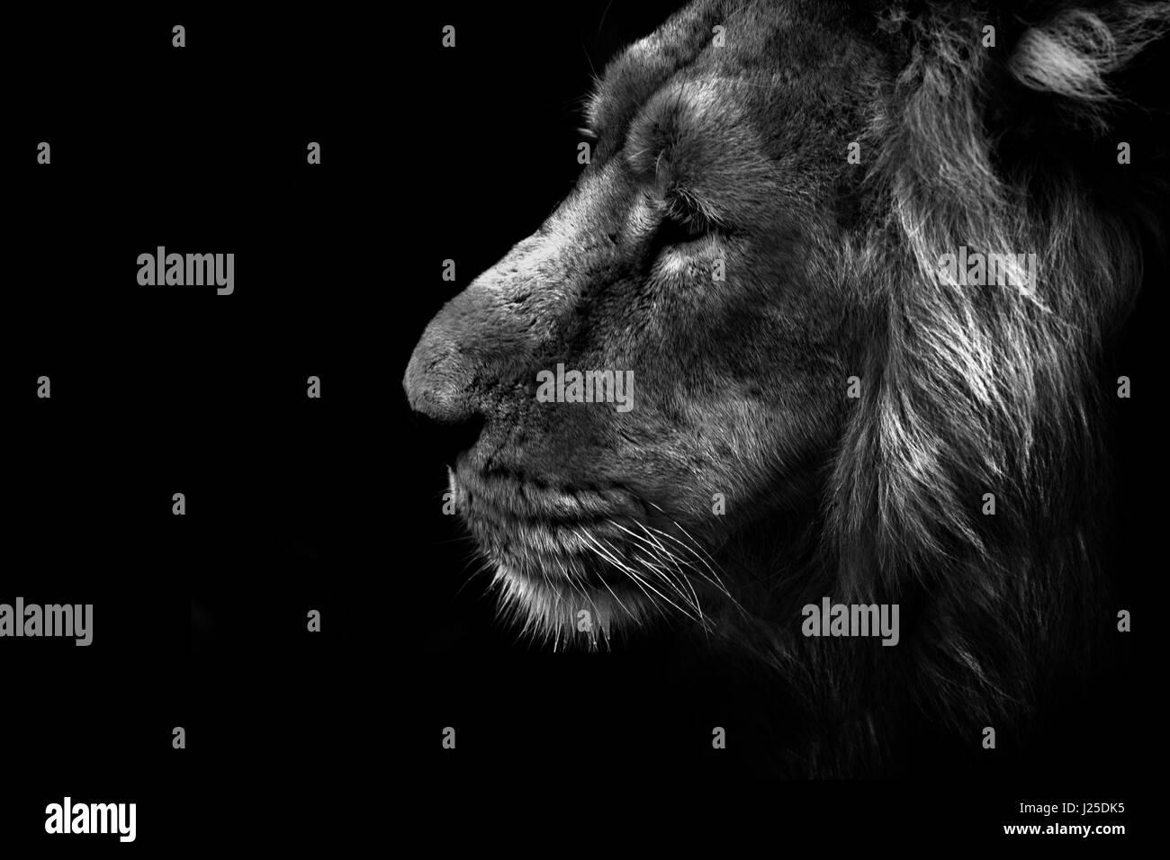 Un maschio alfa lion sul prowl Immagini Stock