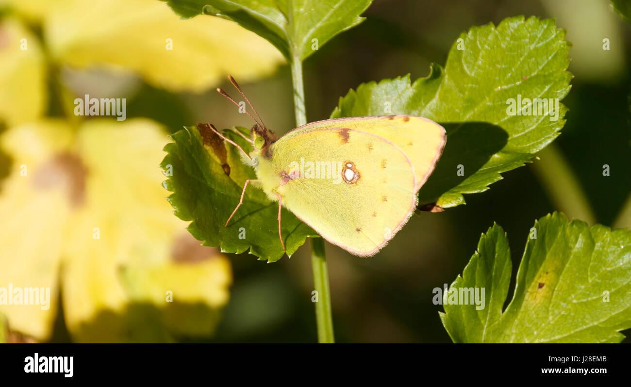 Emigrante limone butterfly nella natura Immagini Stock