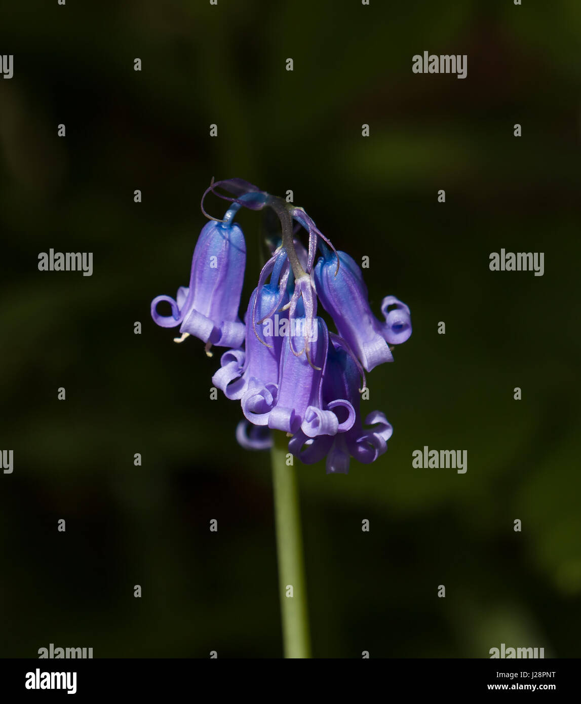 Close-up di dettaglio common english bluebell hyacinthoides non scripta. Immagini Stock