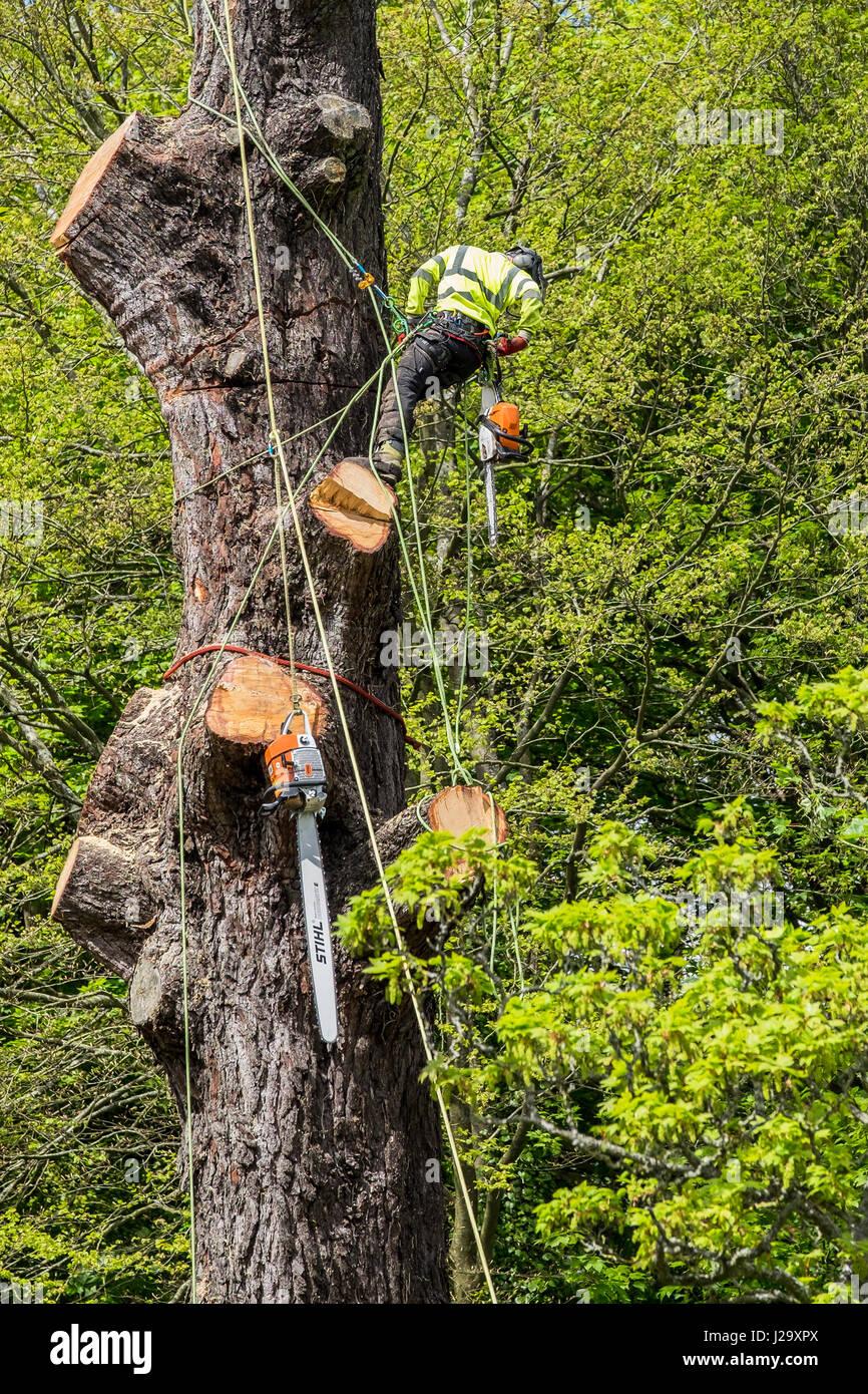 Tree chirurgo Arborist Arboricoltura esperto occupazione pericolose taglio basso struttura con sega a catena lavora Immagini Stock