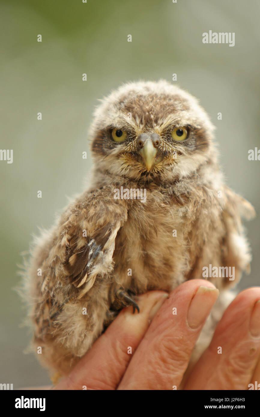 Baby Civetta (Athene noctua) pone per la mano di un uomo che ha dato a lui/lei il suo anello. Immagini Stock