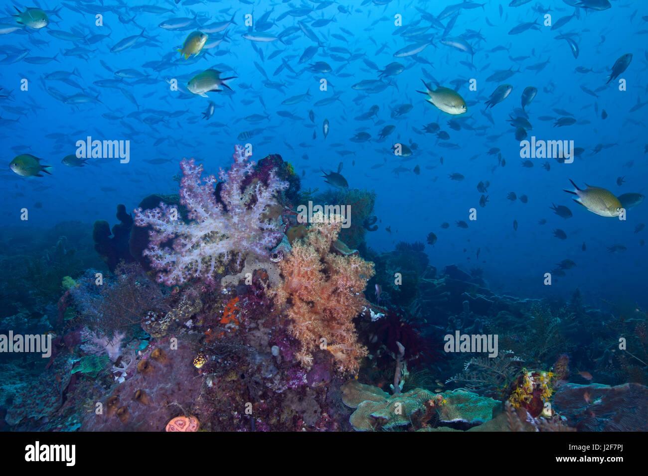 Seascape immagine di una colorata barriera corallina, remote e incontaminato nel cuore del triangolo di corallo. Immagini Stock