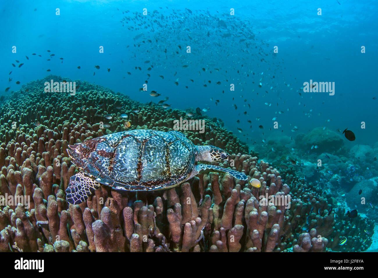 Mare Marine turtle rovistando tra Porite coralli duri pilastri. Nusa Lembongan, Bali, Indonesia. Immagini Stock