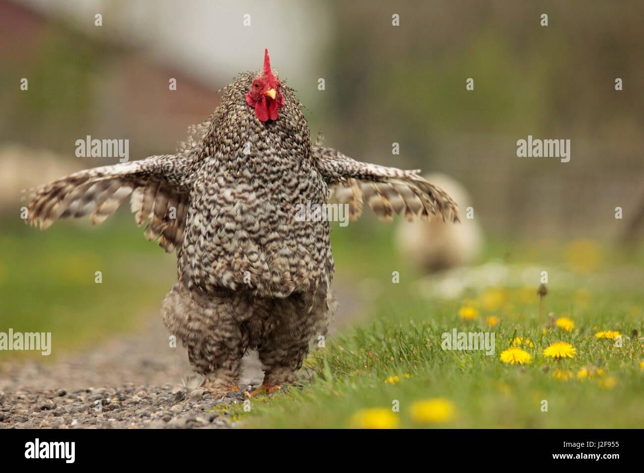 La Rooster sono ' appollaiati. Immagini Stock