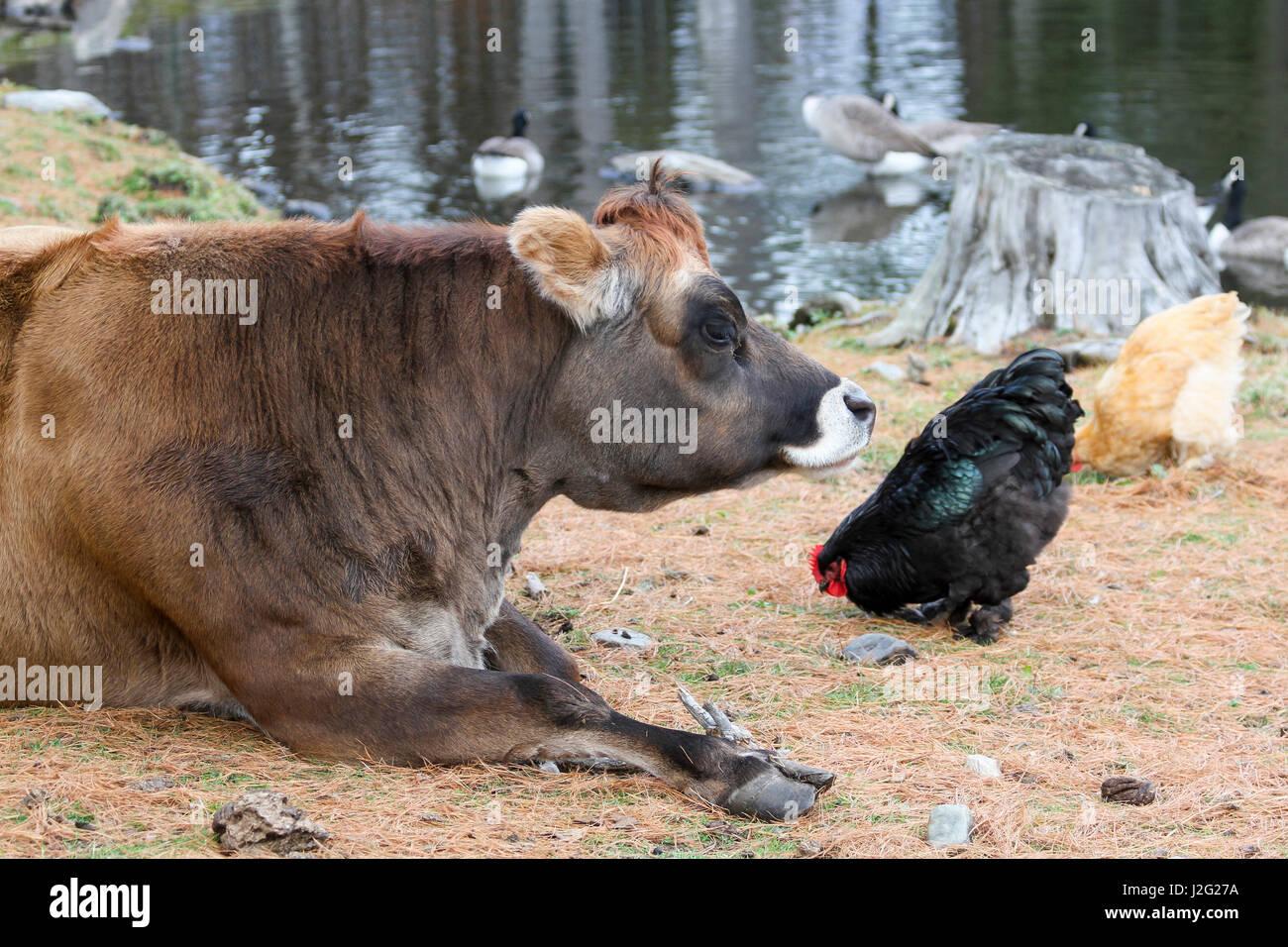 Pollo mucca acquista a poco prezzo pollo mucca lotti da fornitori