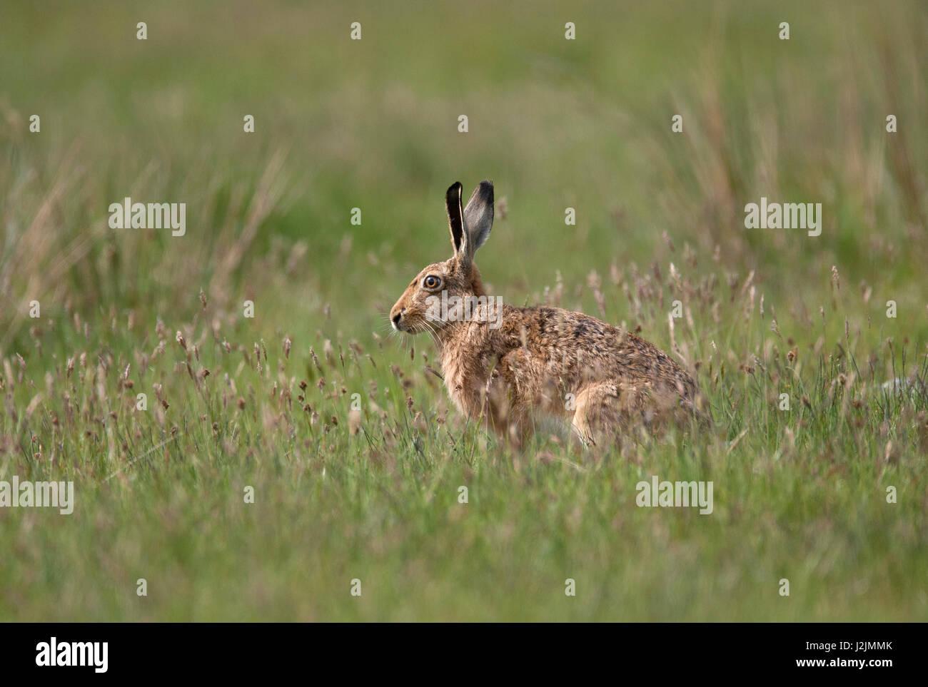 Brown, lepre Lepus capensis singolo adulto seduto nel campo in Scozia, Regno Unito Immagini Stock