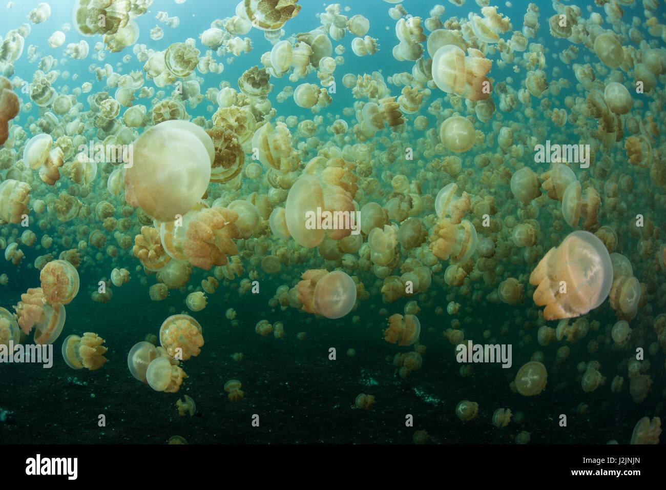 Milioni di specie endemiche medusa (Mastigias papua etpisonii) nuotare in un isolato lago marino nella Repubblica Immagini Stock