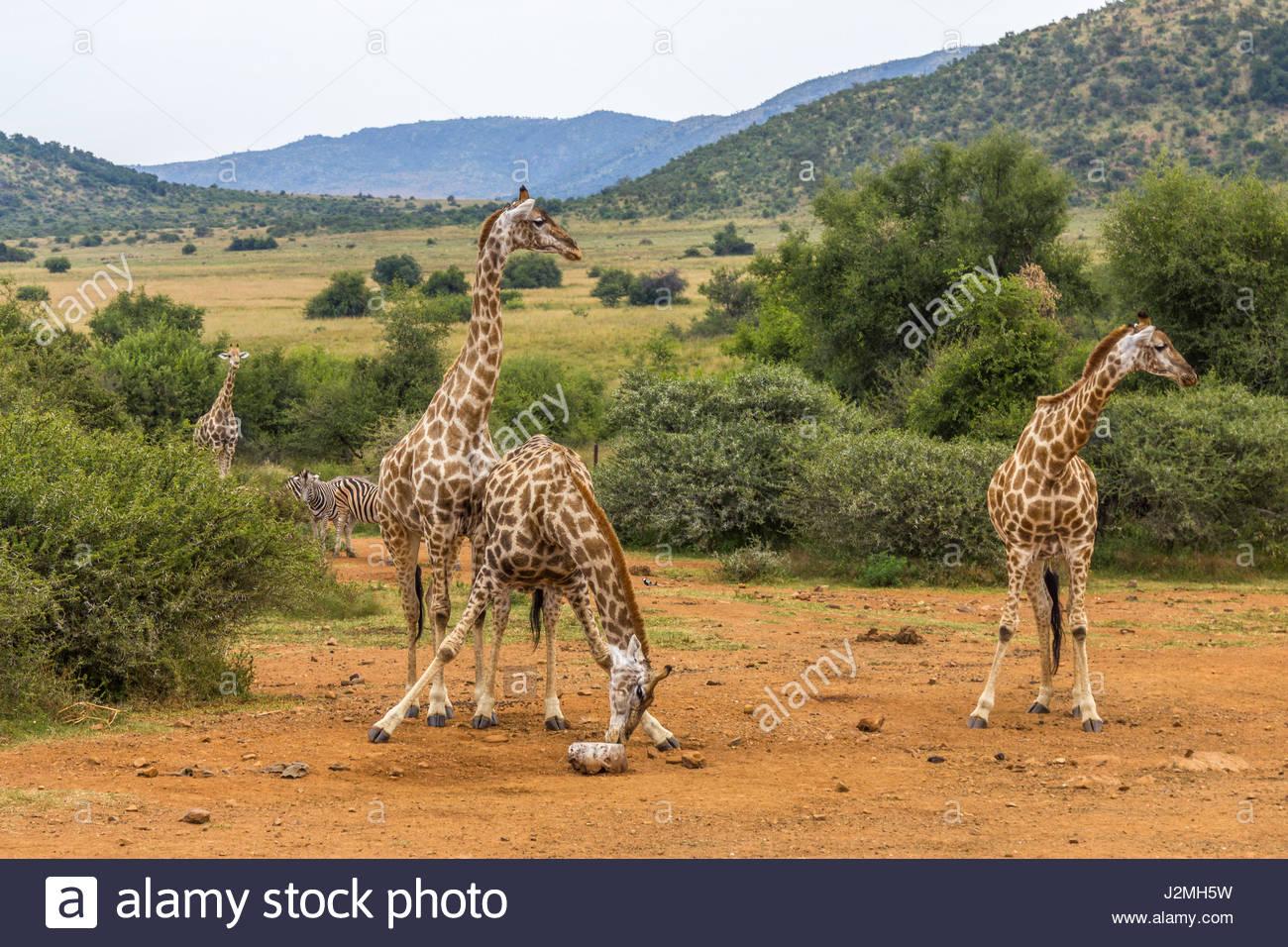 Una giraffa divarica le sue gambe per raggiungere un sale-leccare nel parco nazionale di Pilanesberg. minerali ricchi Immagini Stock