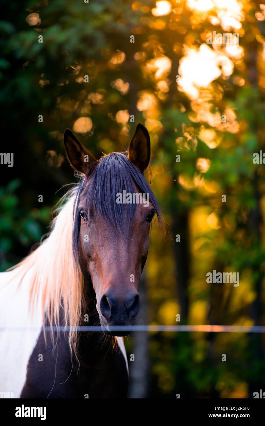 Gli occhi tristi di smart cavallo attraverso lunghi bangs menen tuta con una testa di marrone e un bianco groppa Immagini Stock