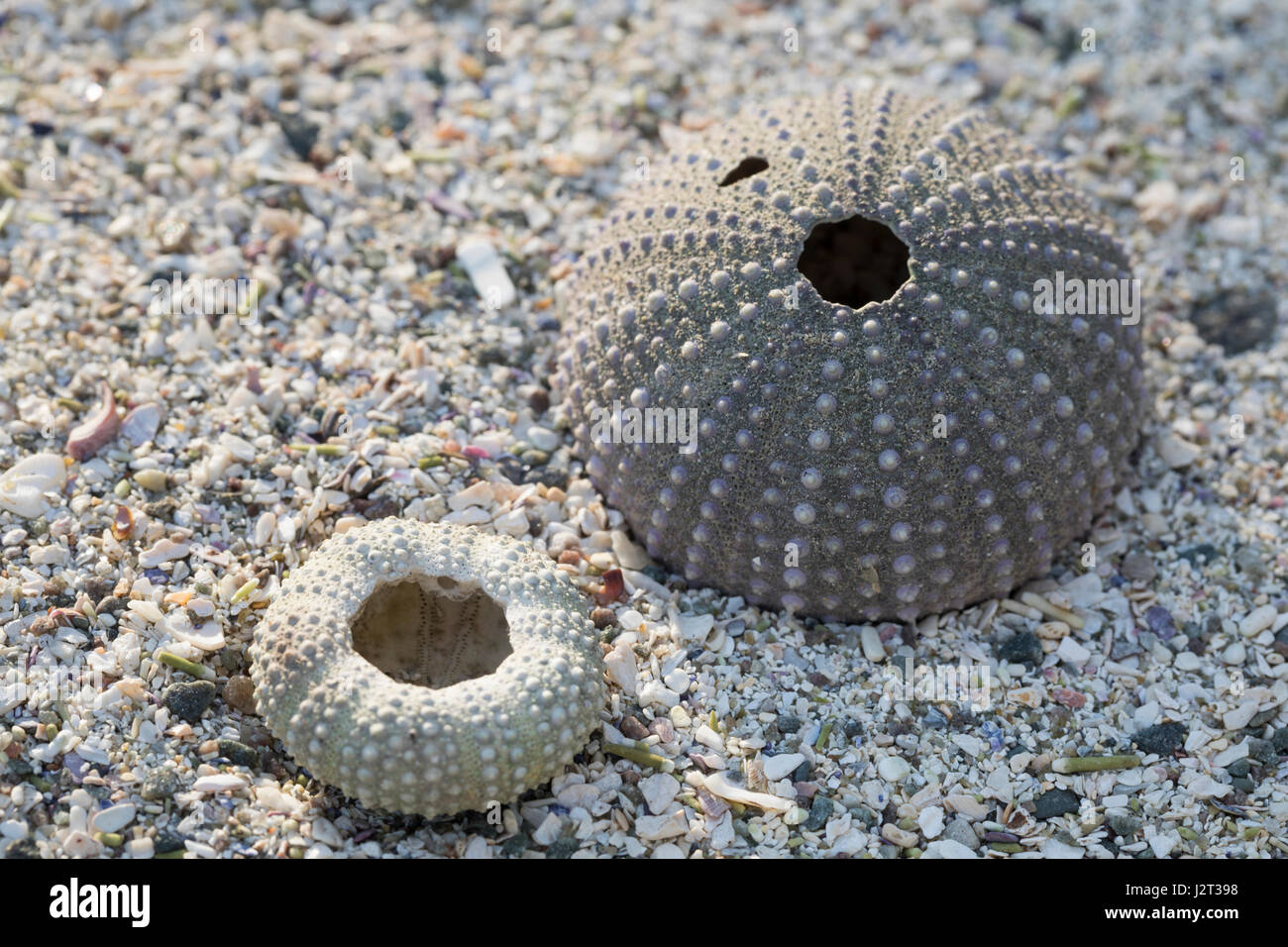 Seeigel-Skelett am Strand, Spülsaum, Skelett eines regelmäßigen Seeigel, Regularia, Seeigel-Kalk Immagini Stock