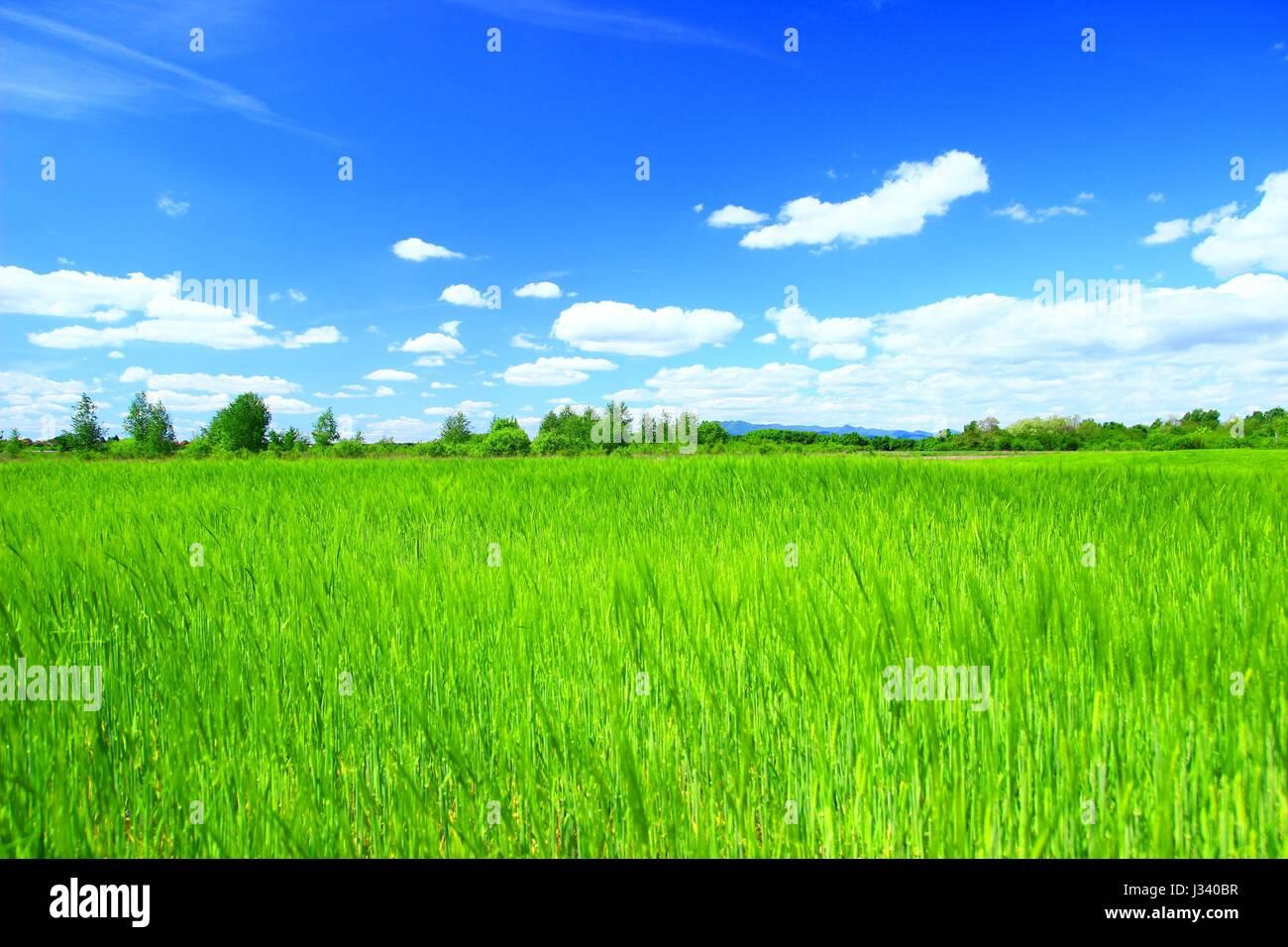Lo sfondo del paesaggio verde con campo di grano e il cielo blu con alcune nuvole Immagini Stock