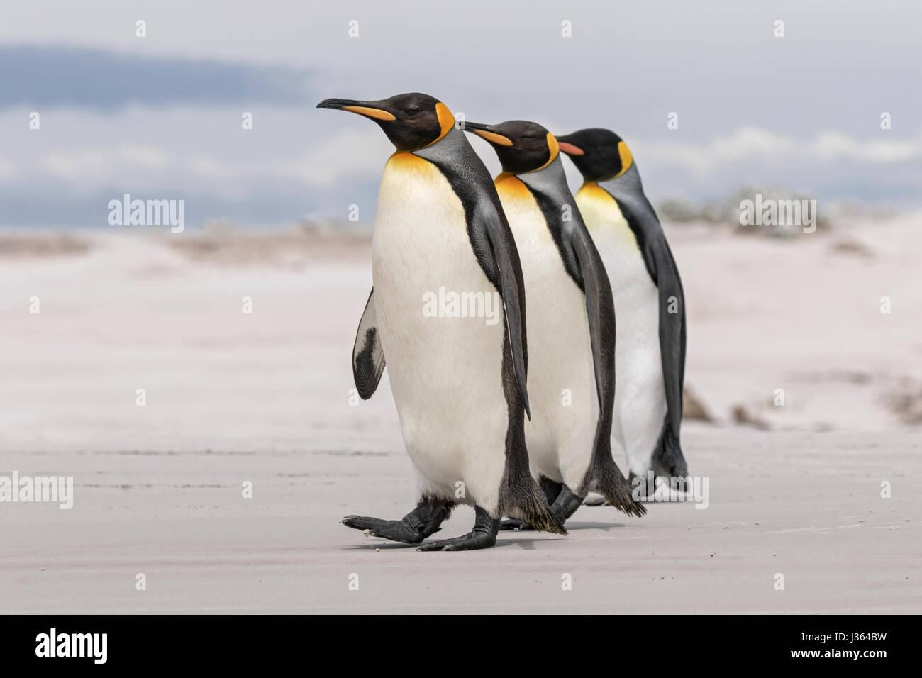 Pinguino reale Foto Stock