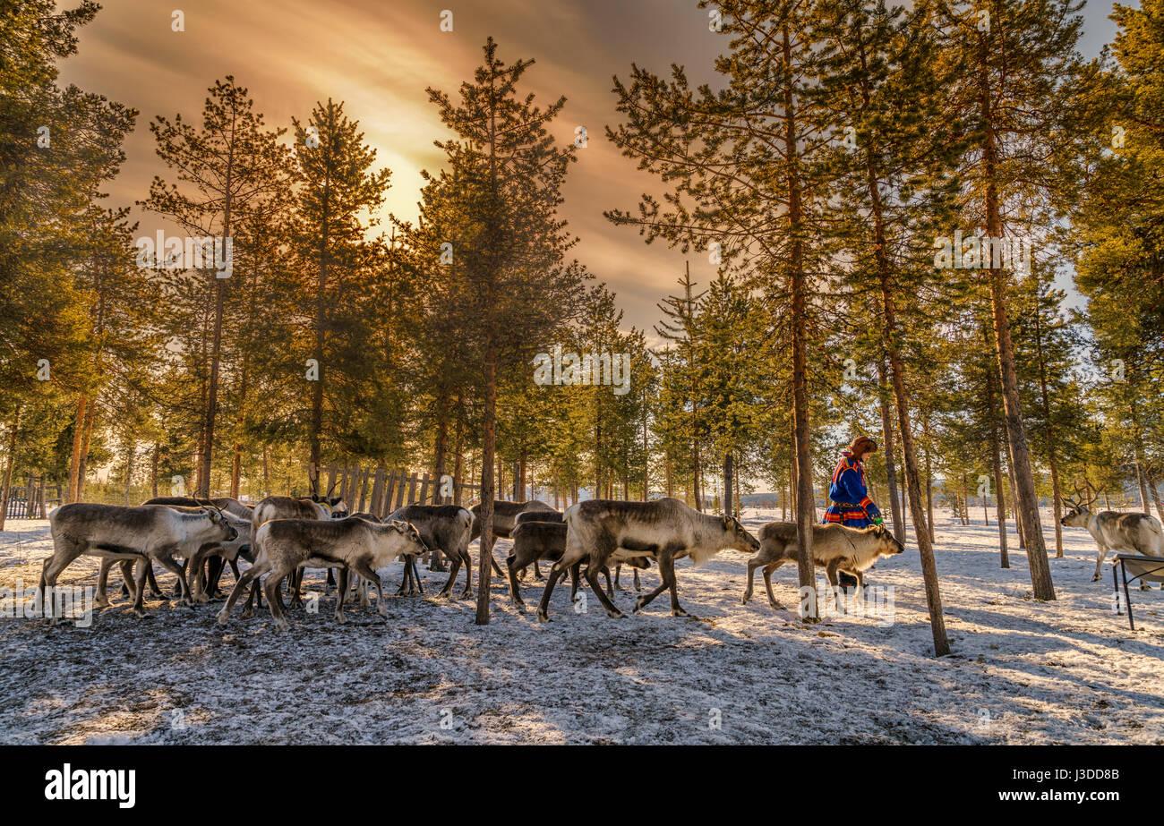 Sami con un allevamento di renne, Lapponia svedese, Svezia Immagini Stock